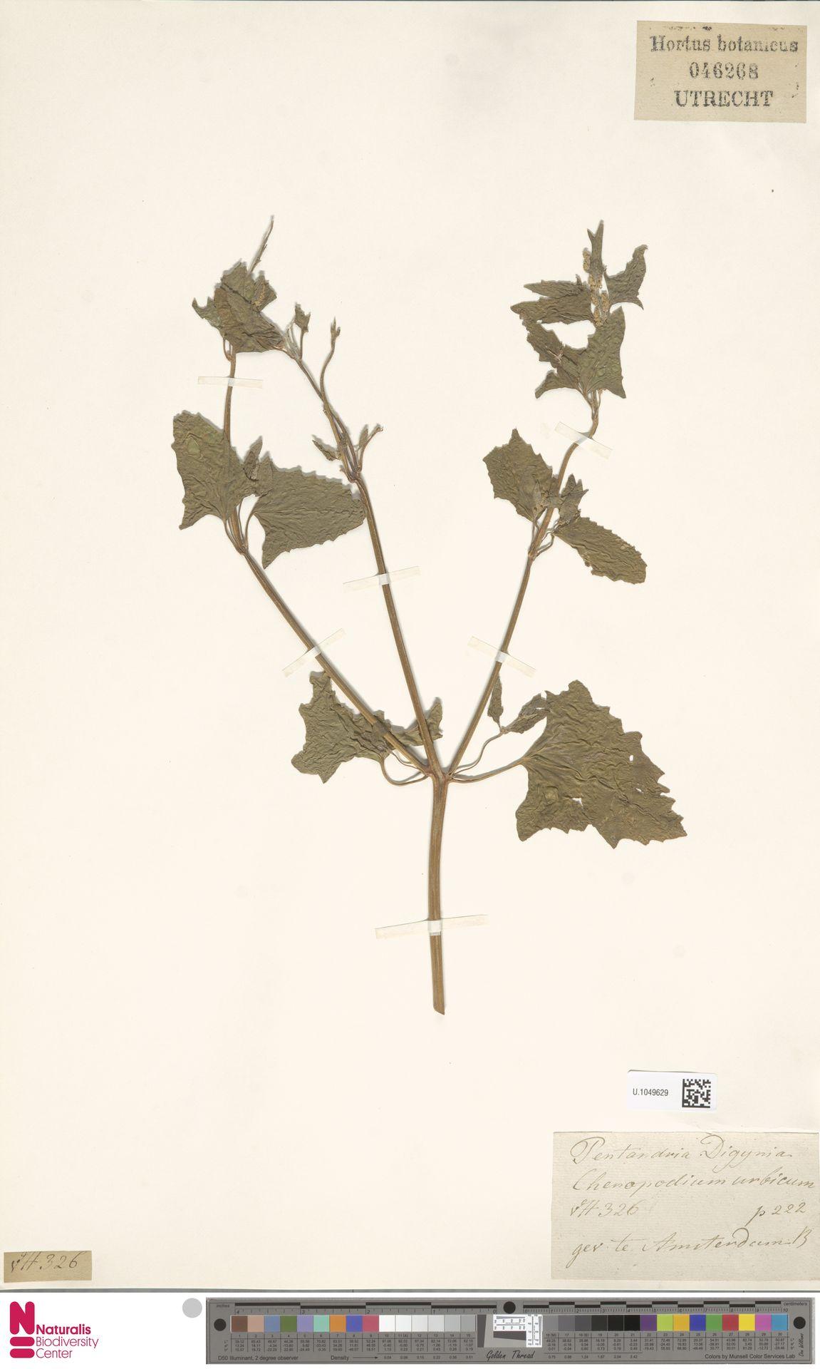 U.1049629 | Chenopodium urbicum L.