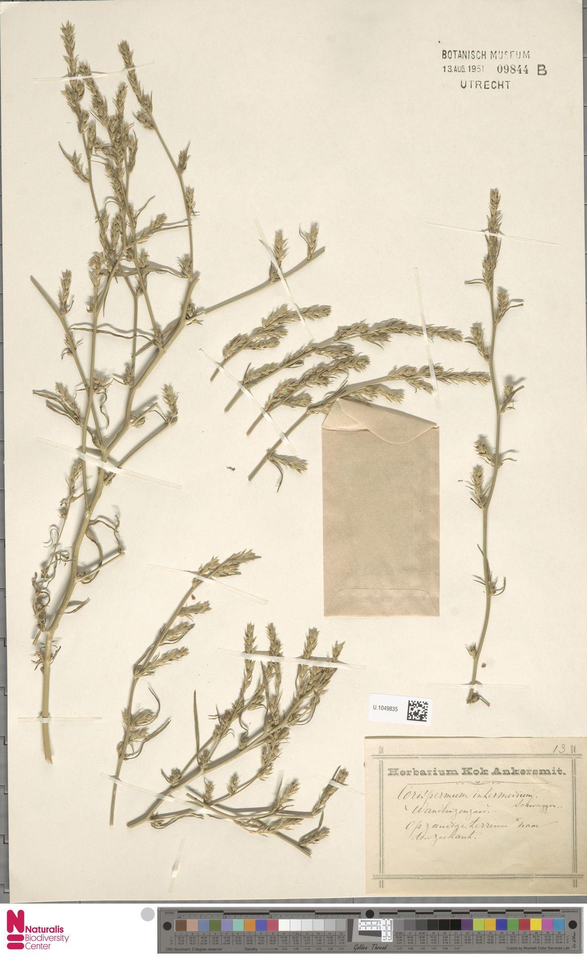 U.1049835 | Corispermum intermedium Schweigg.