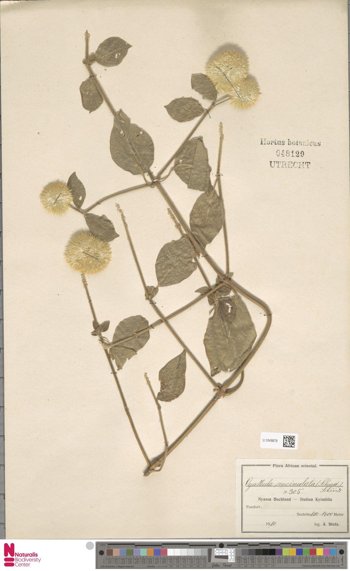 U.1049879 | Cyathula uncinulata (Schrad.) Schinz