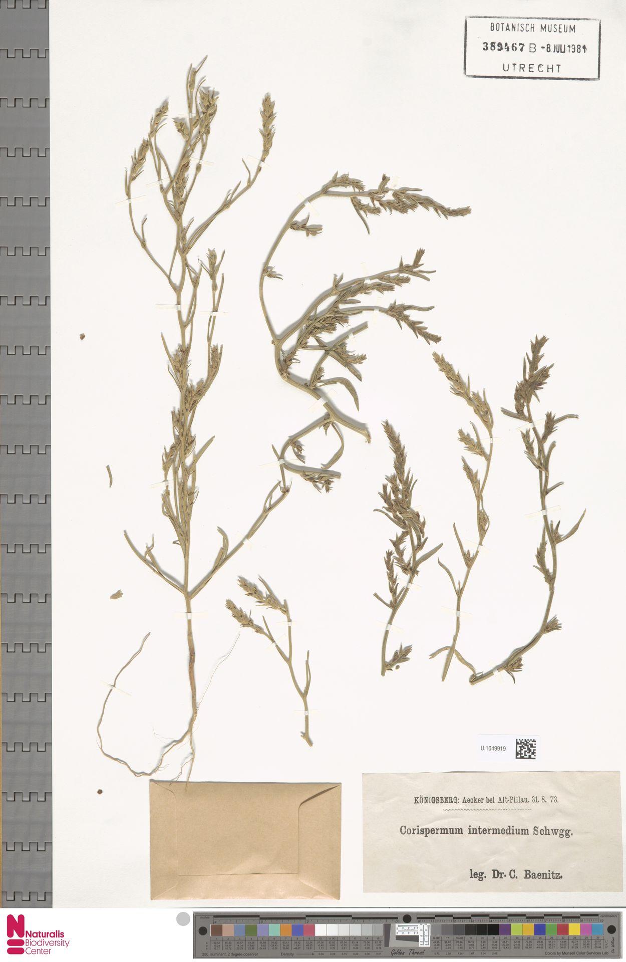 U.1049919 | Corispermum intermedium Schweigg.