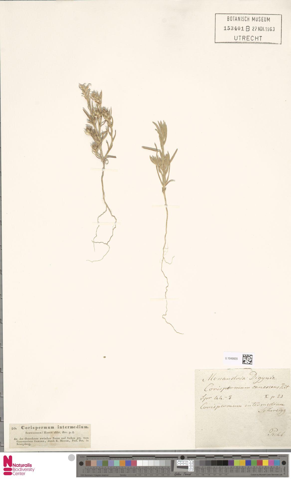 U.1049920 | Corispermum intermedium Schweigg.