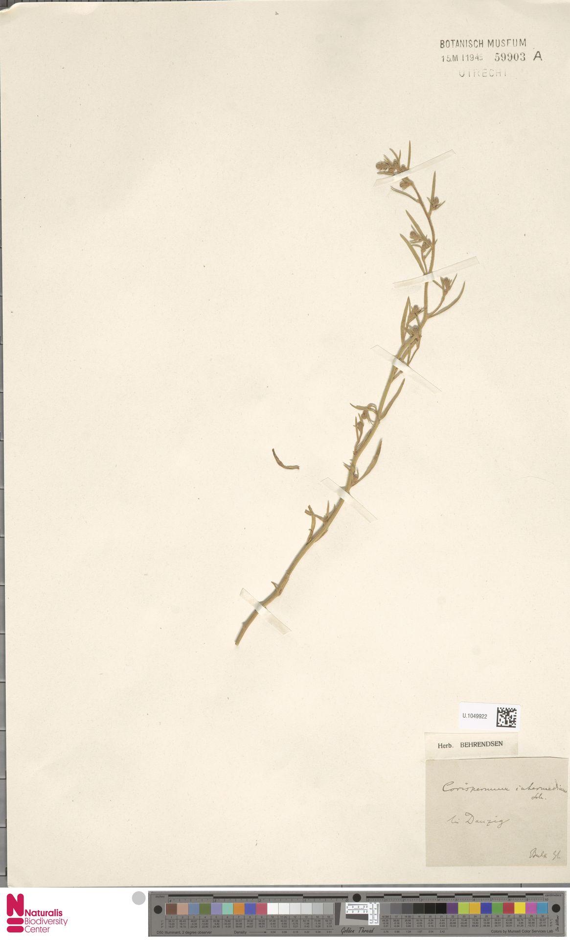 U.1049922 | Corispermum intermedium Schweigg.