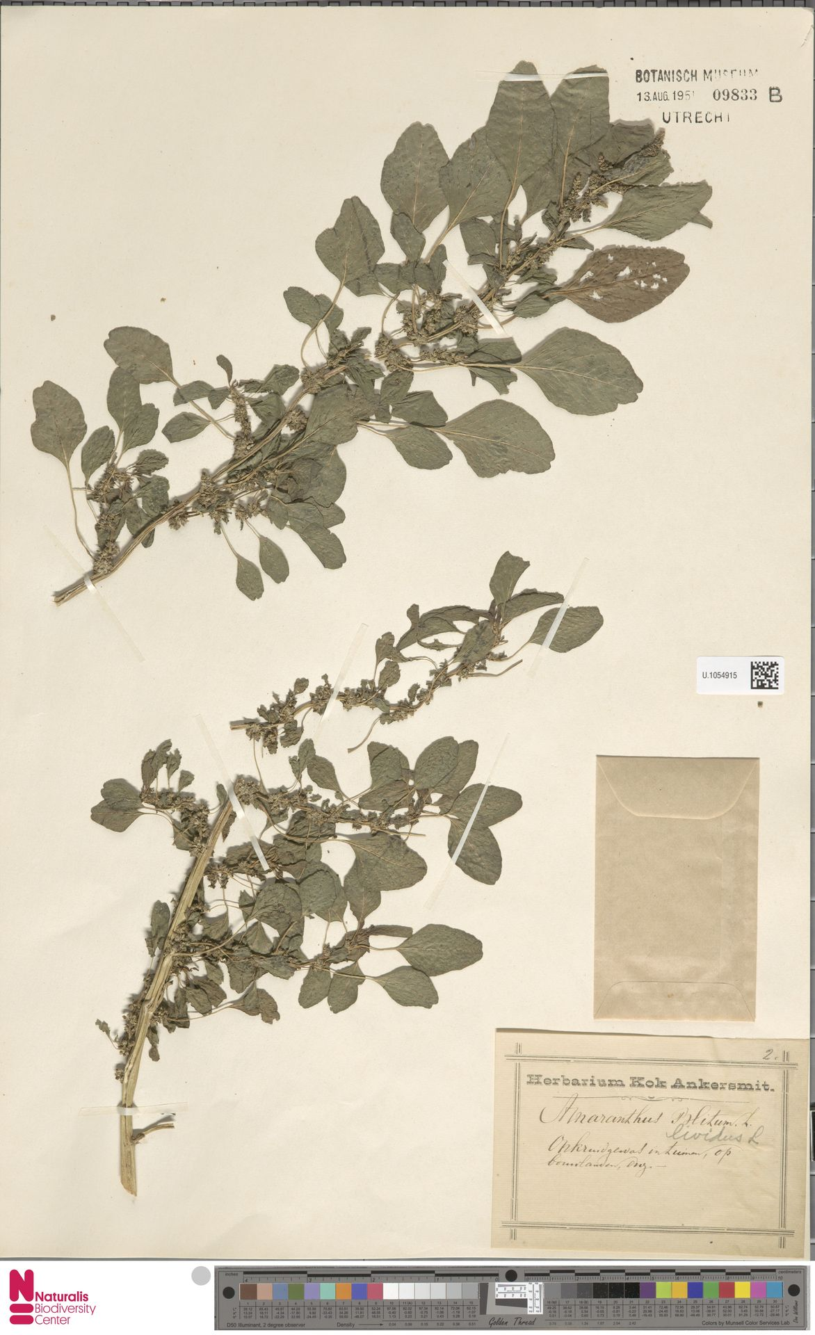 U.1054915   Amaranthus blitum L.