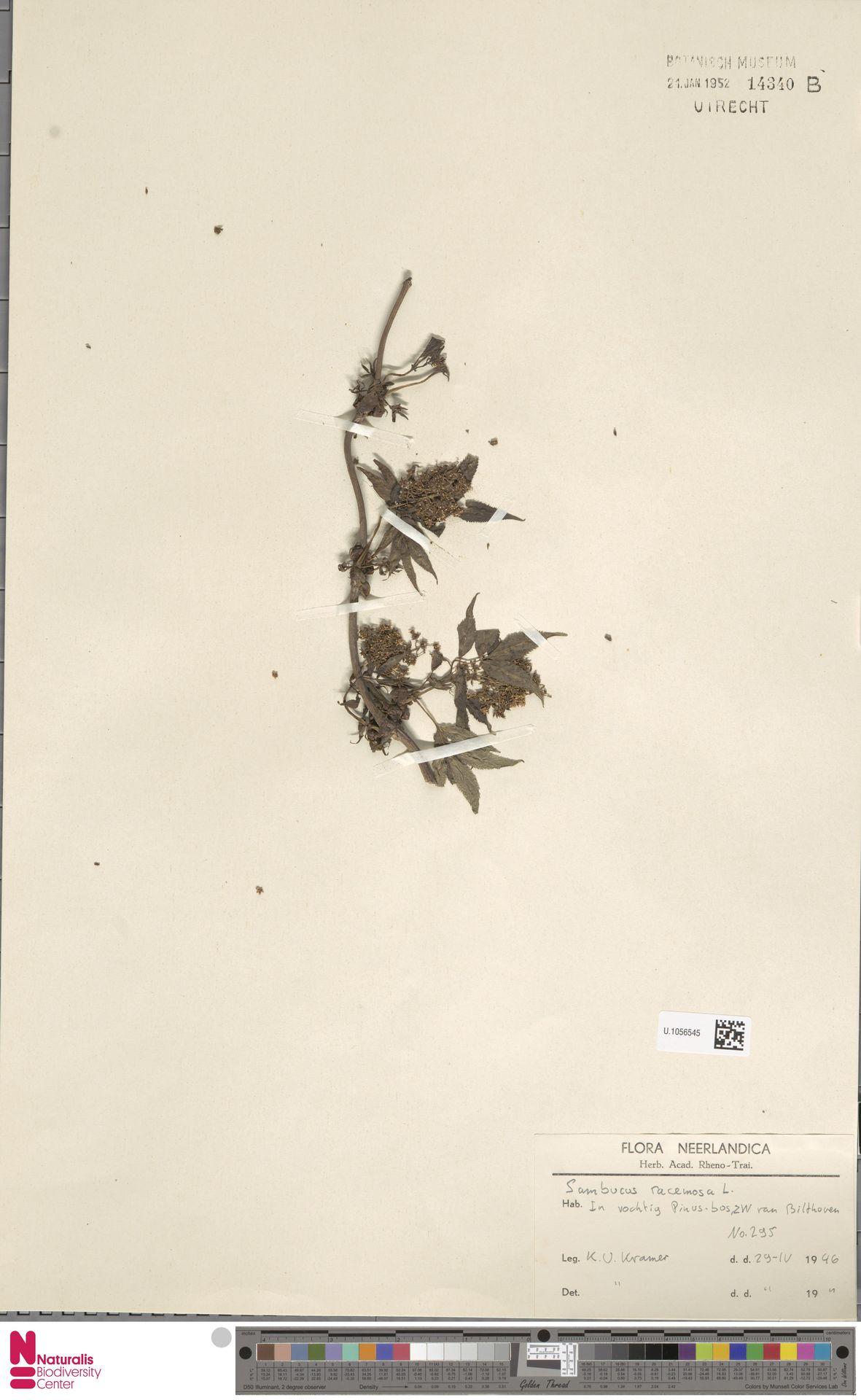 U.1056545 | Sambucus racemosa L.