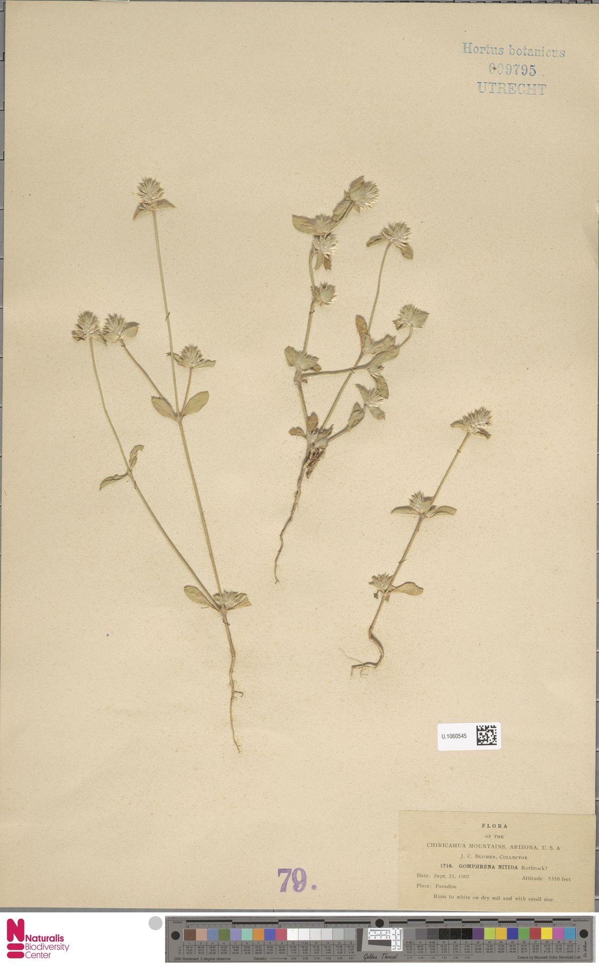 U.1060545 | Gomphrena nitida Rothr.