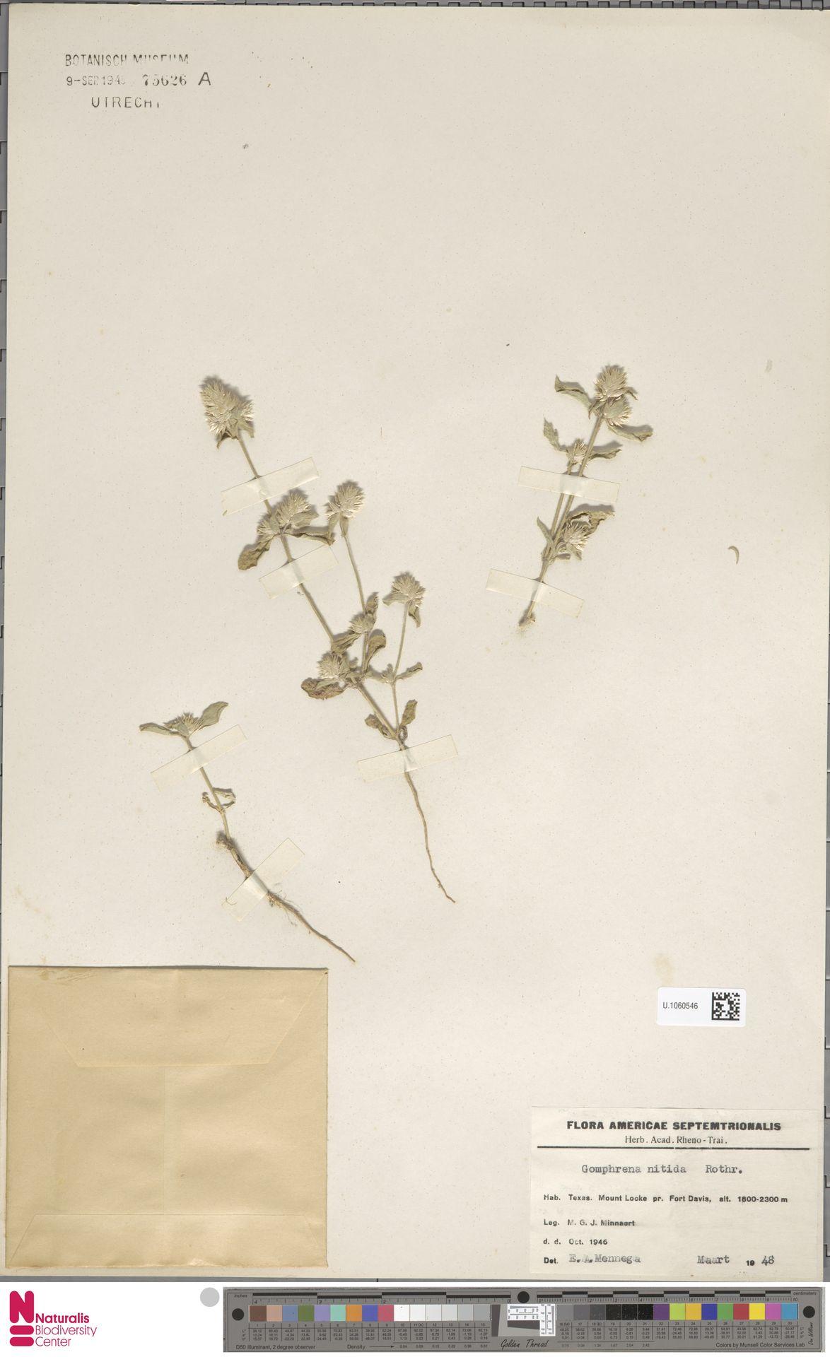 U.1060546 | Gomphrena nitida Rothr.