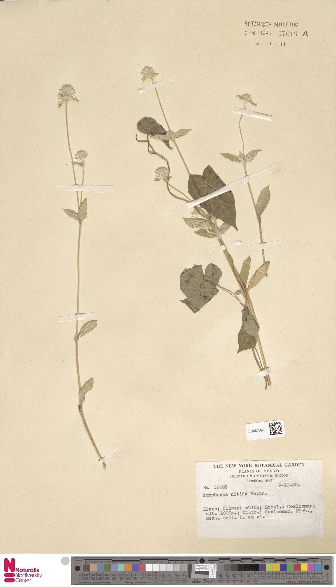 U.1060562 | Gomphrena nitida Rothr.