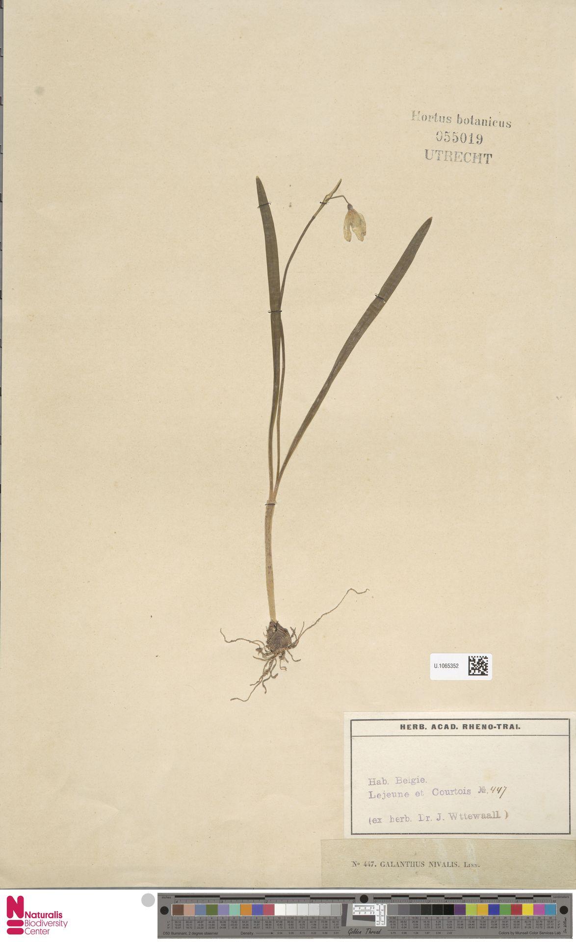 U.1065352 | Galanthus nivalis L.