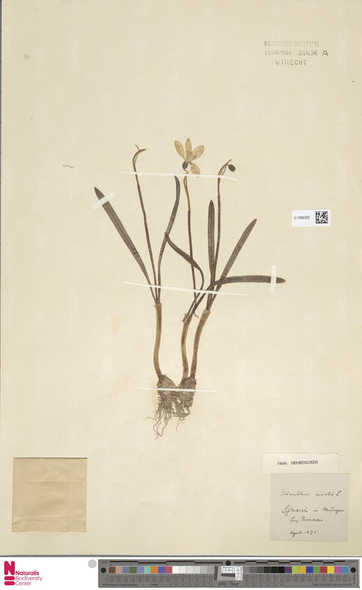 U.1065353 | Galanthus nivalis L.