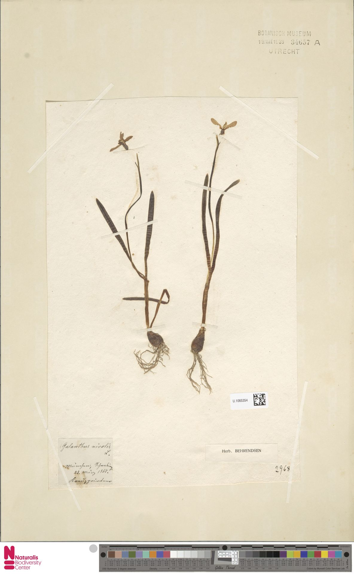 U.1065354 | Galanthus nivalis L.