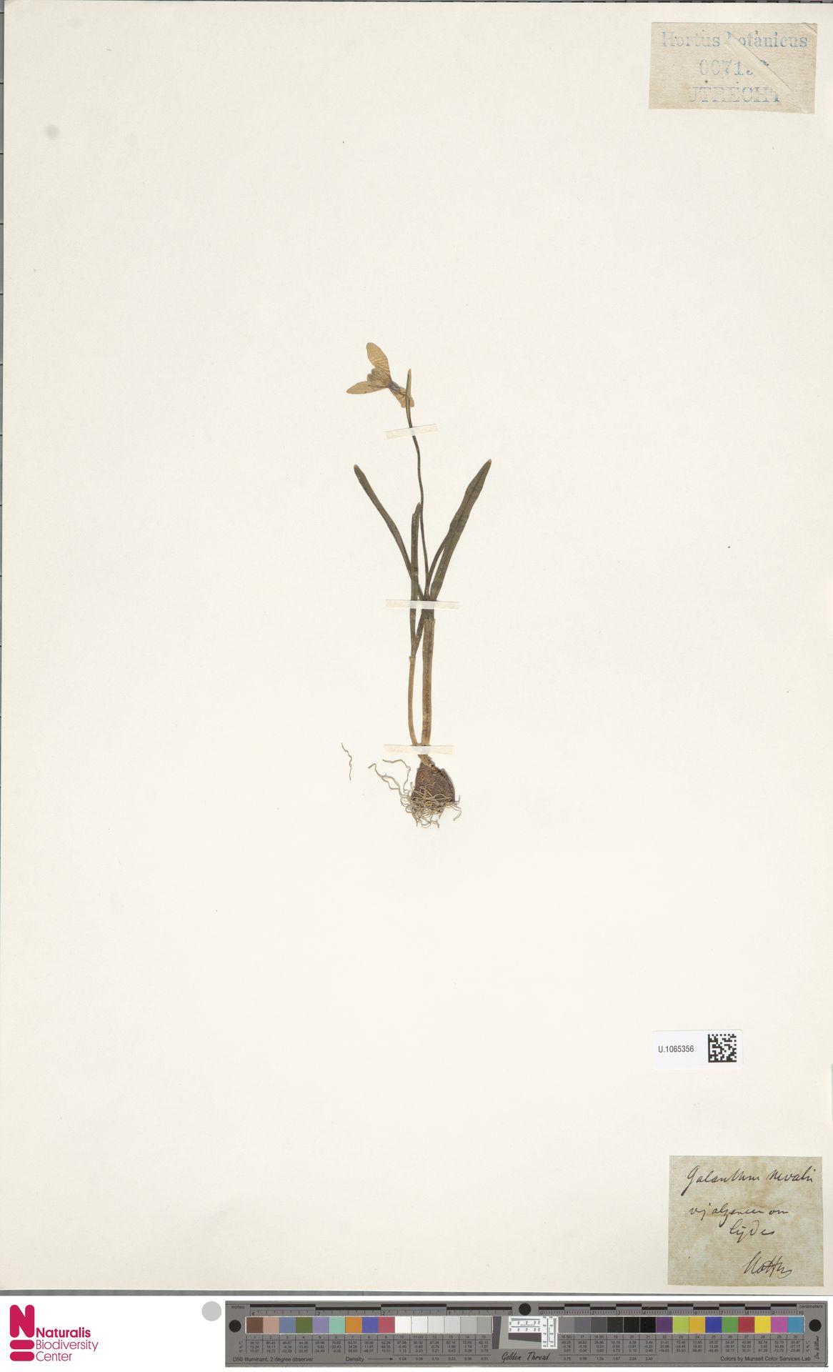 U.1065356 | Galanthus nivalis L.