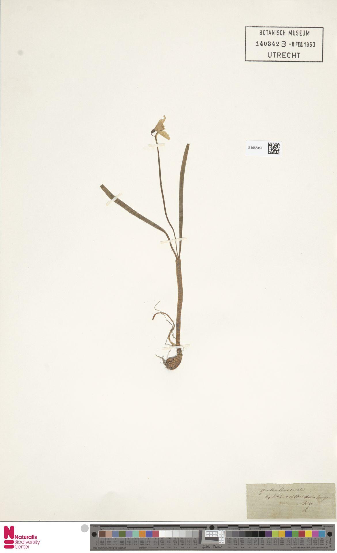 U.1065357   Galanthus nivalis L.
