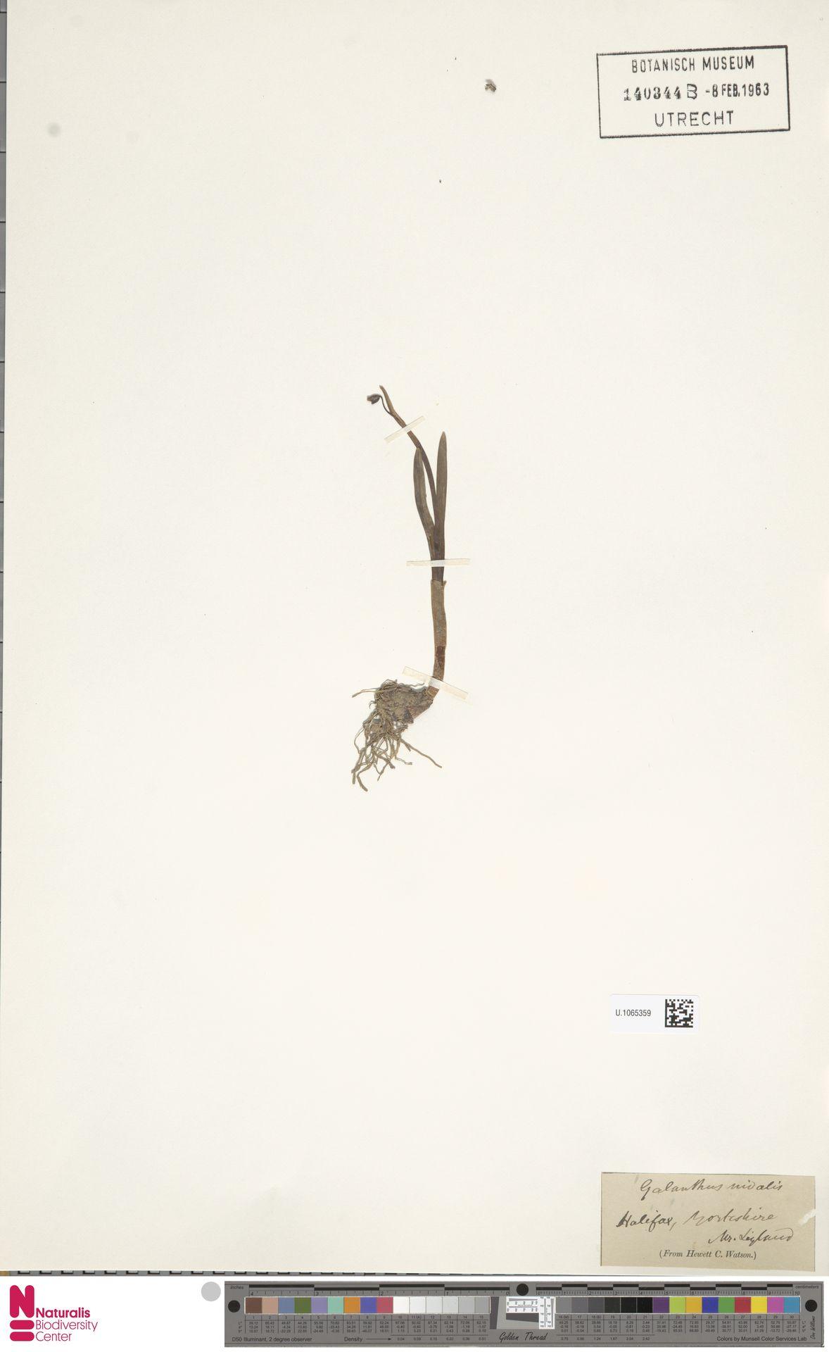 U.1065359 | Galanthus nivalis L.