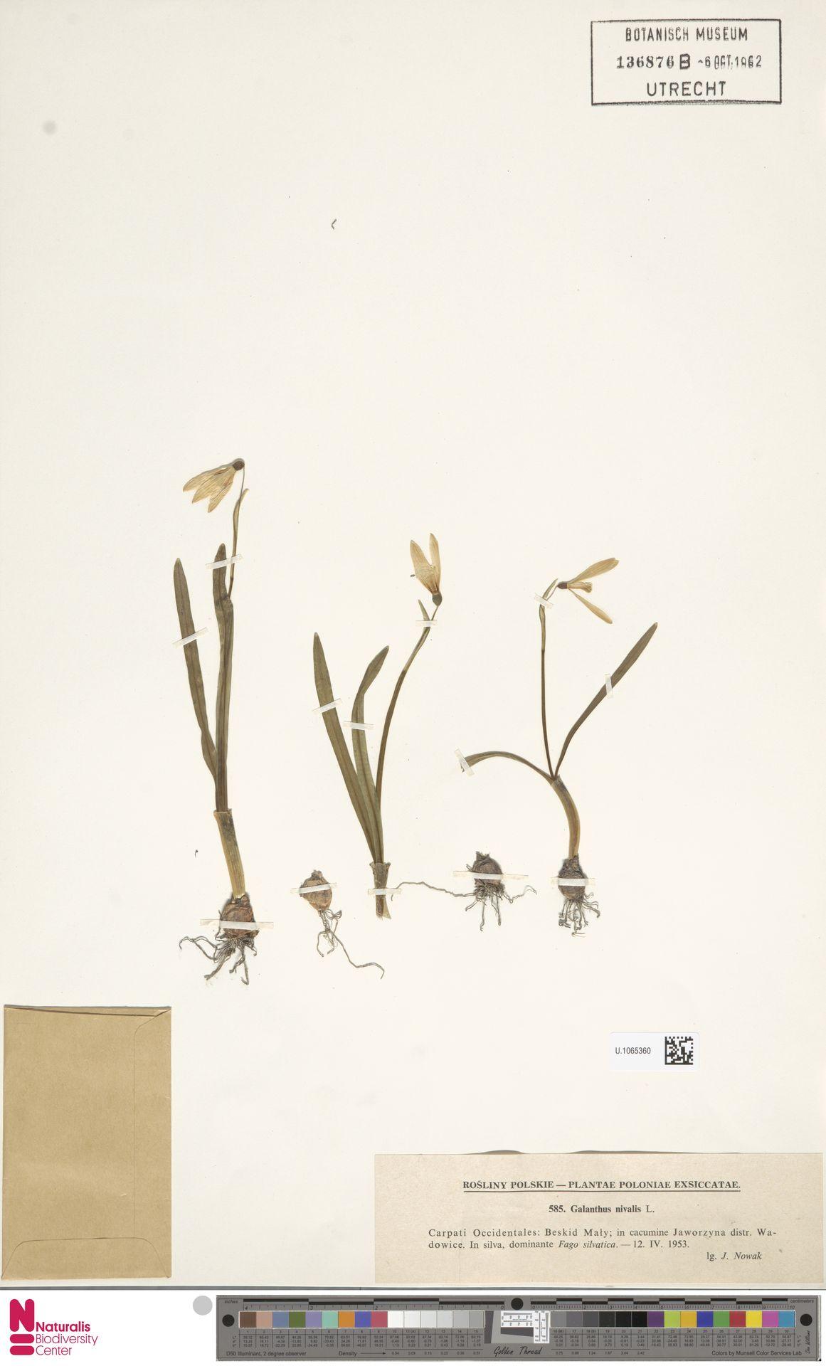 U.1065360 | Galanthus nivalis L.