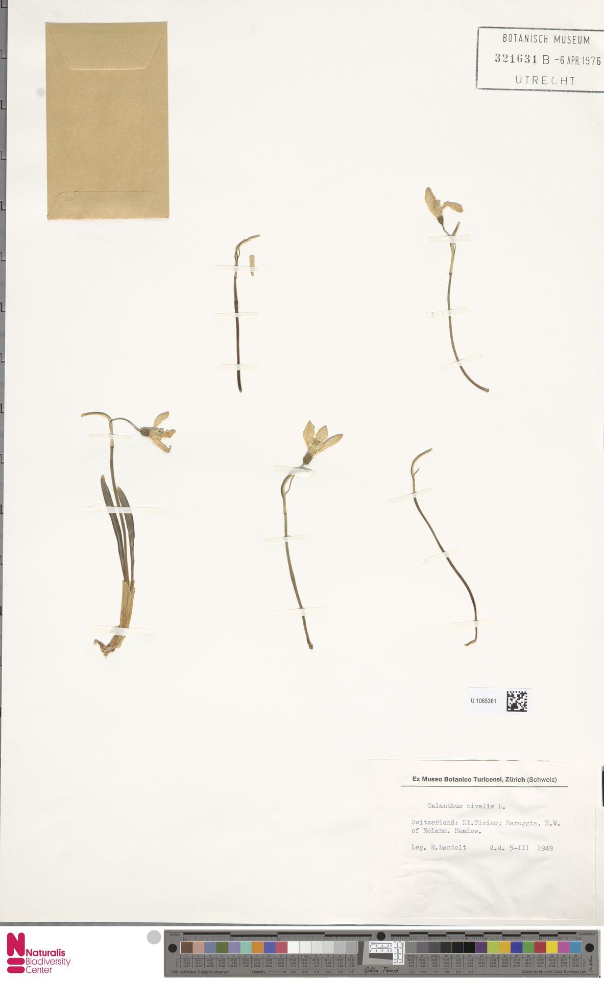 U.1065361 | Galanthus nivalis L.