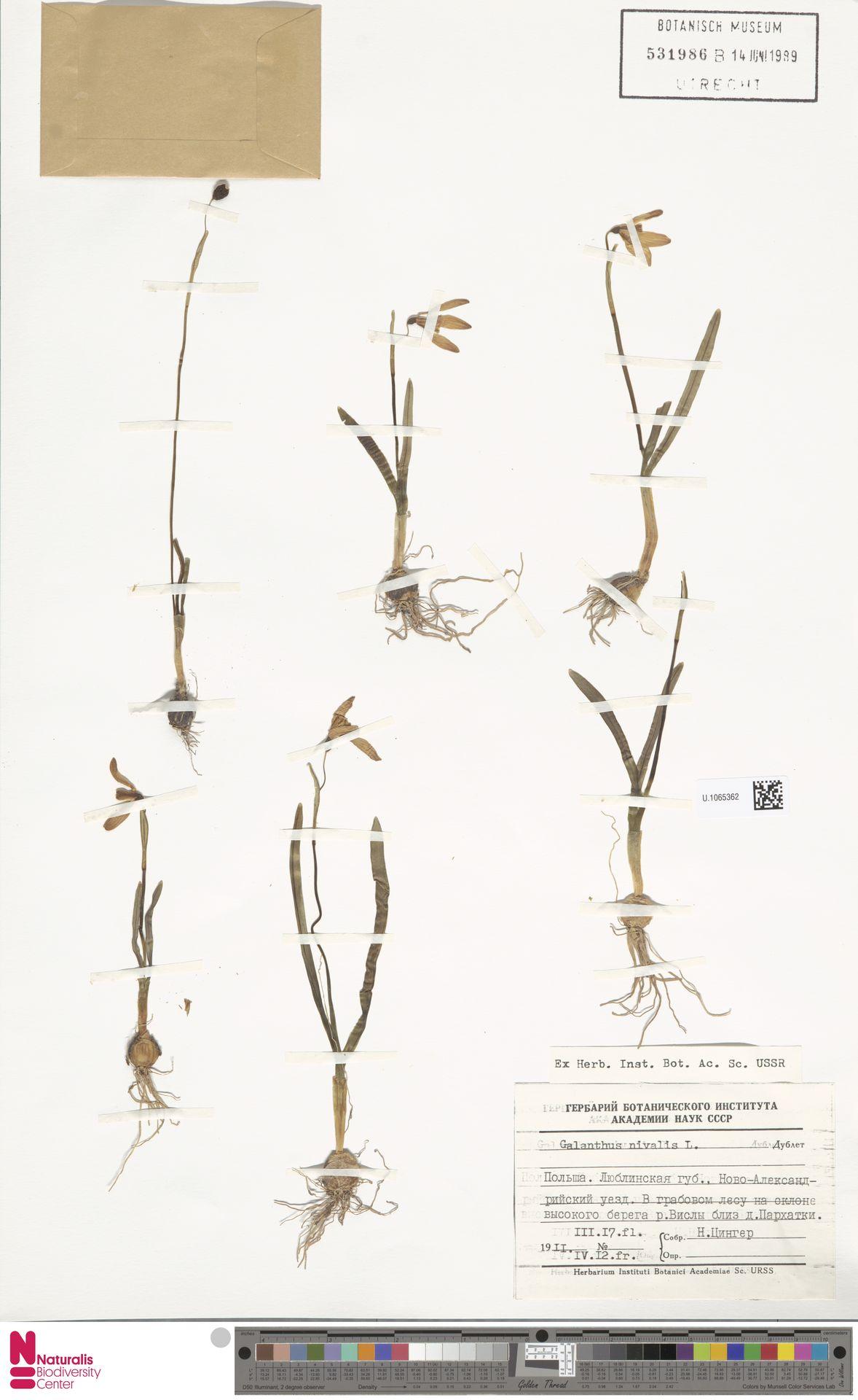 U.1065362 | Galanthus nivalis L.