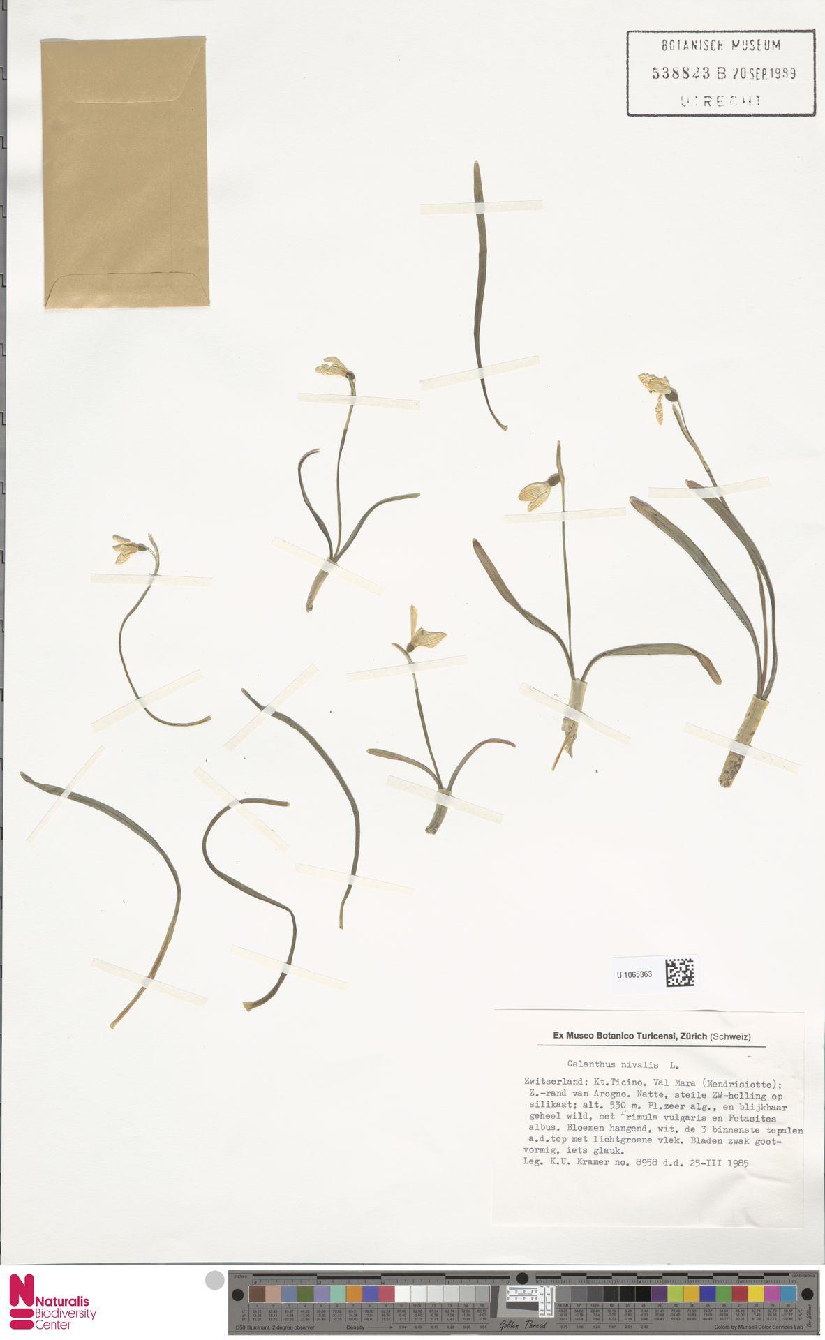 U.1065363 | Galanthus nivalis L.