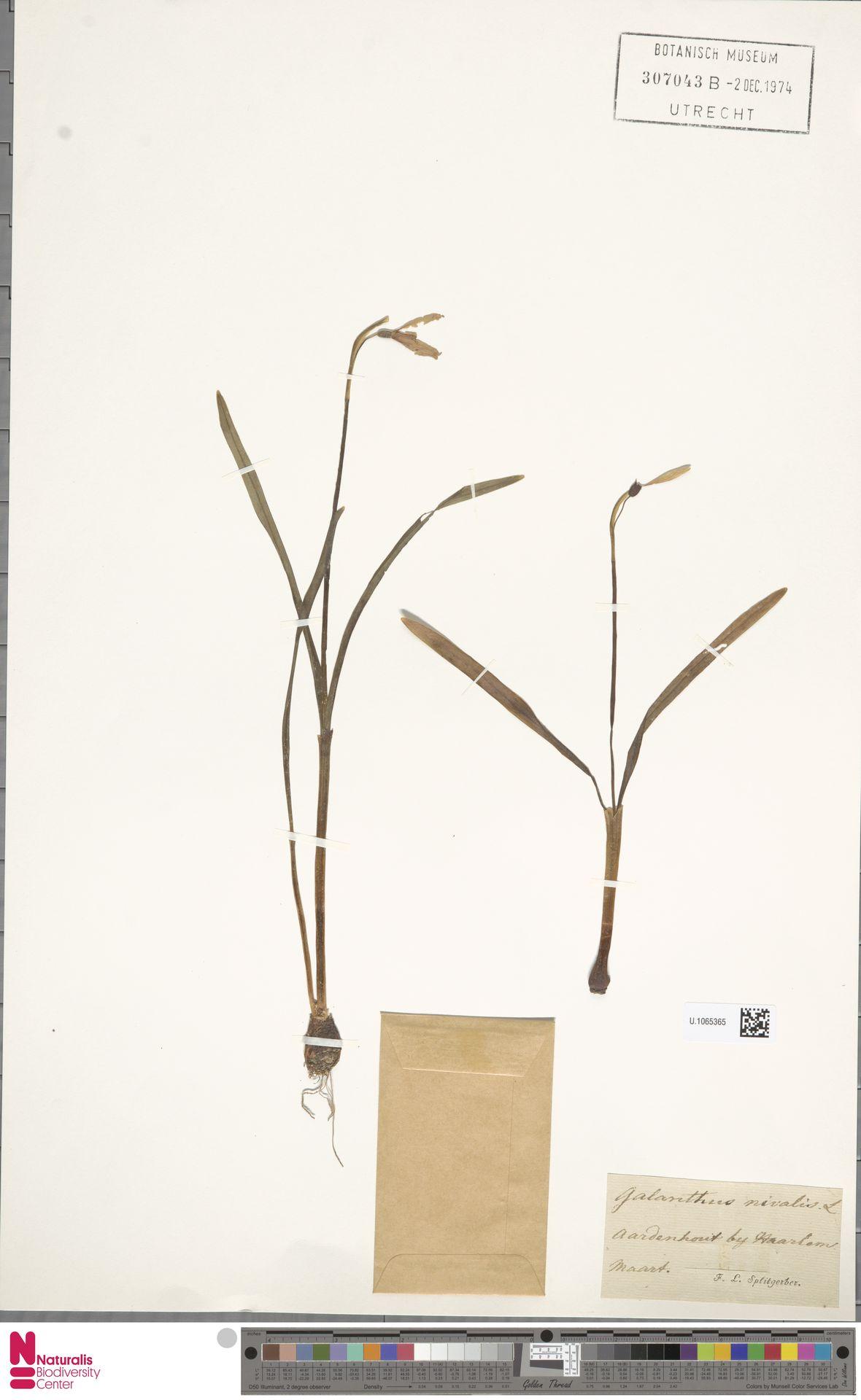 U.1065365 | Galanthus nivalis L.