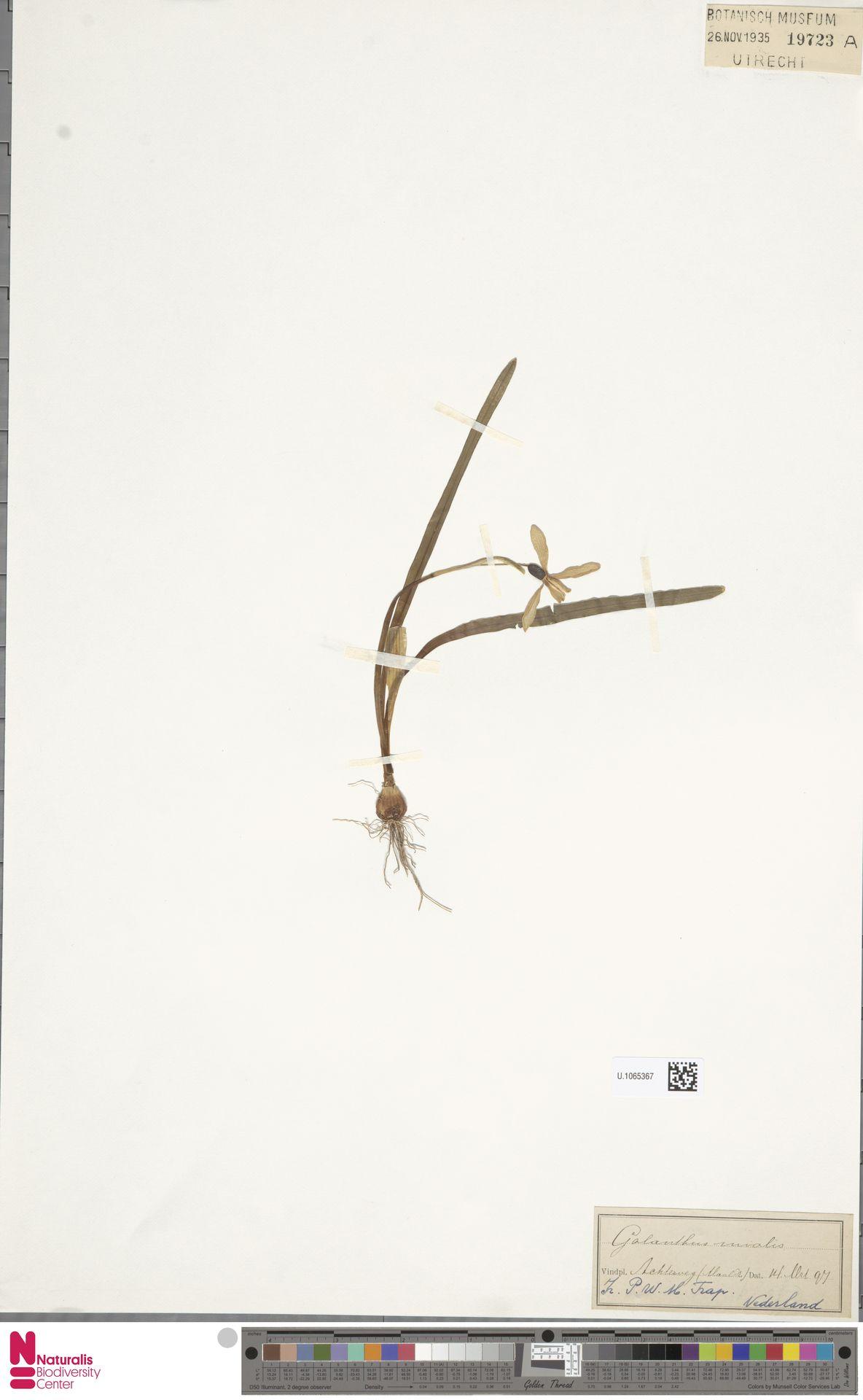 U.1065367   Galanthus nivalis L.