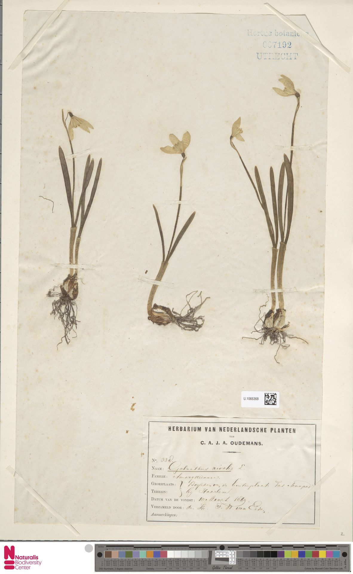 U.1065368 | Galanthus nivalis L.