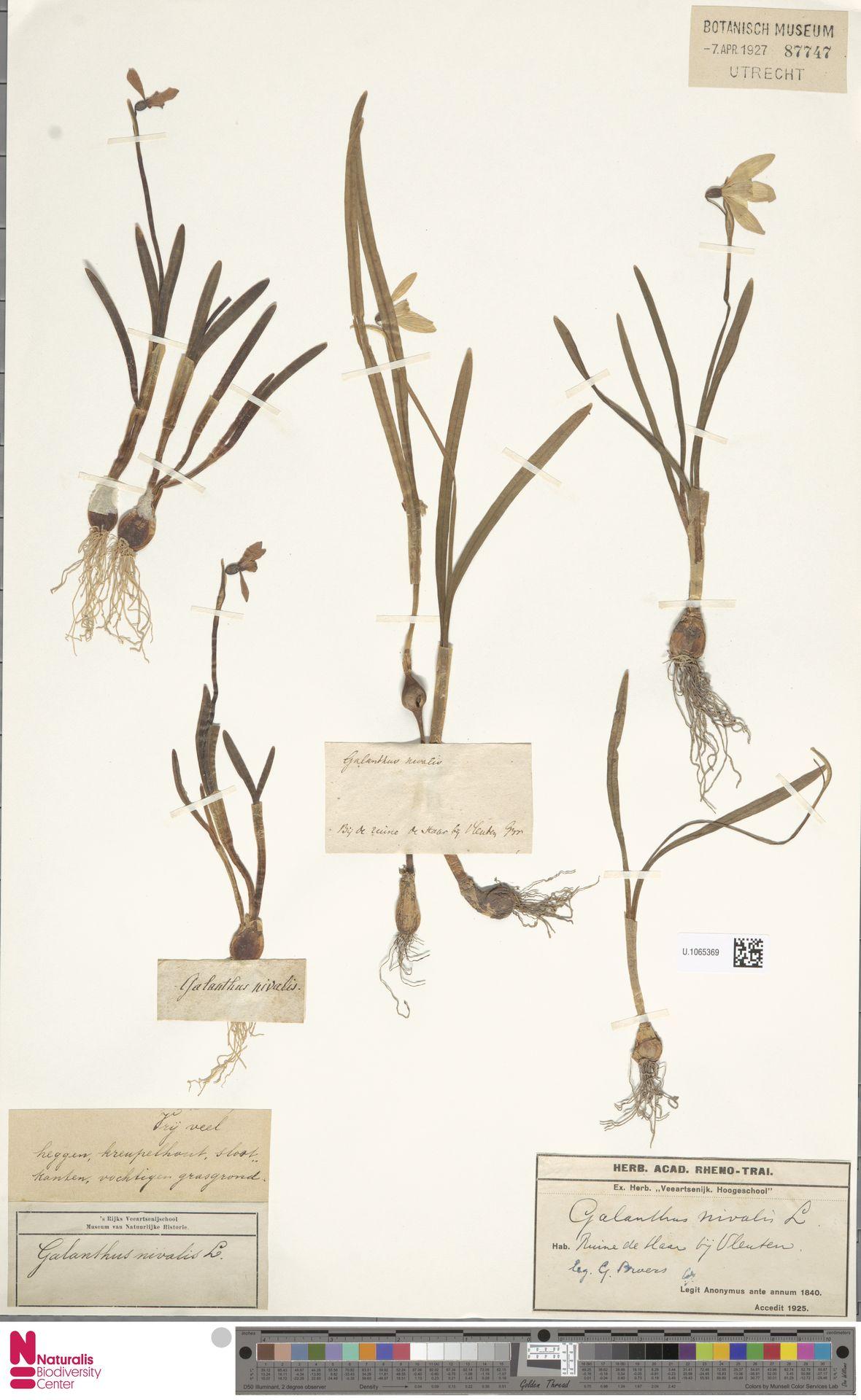 U.1065369 | Galanthus nivalis L.