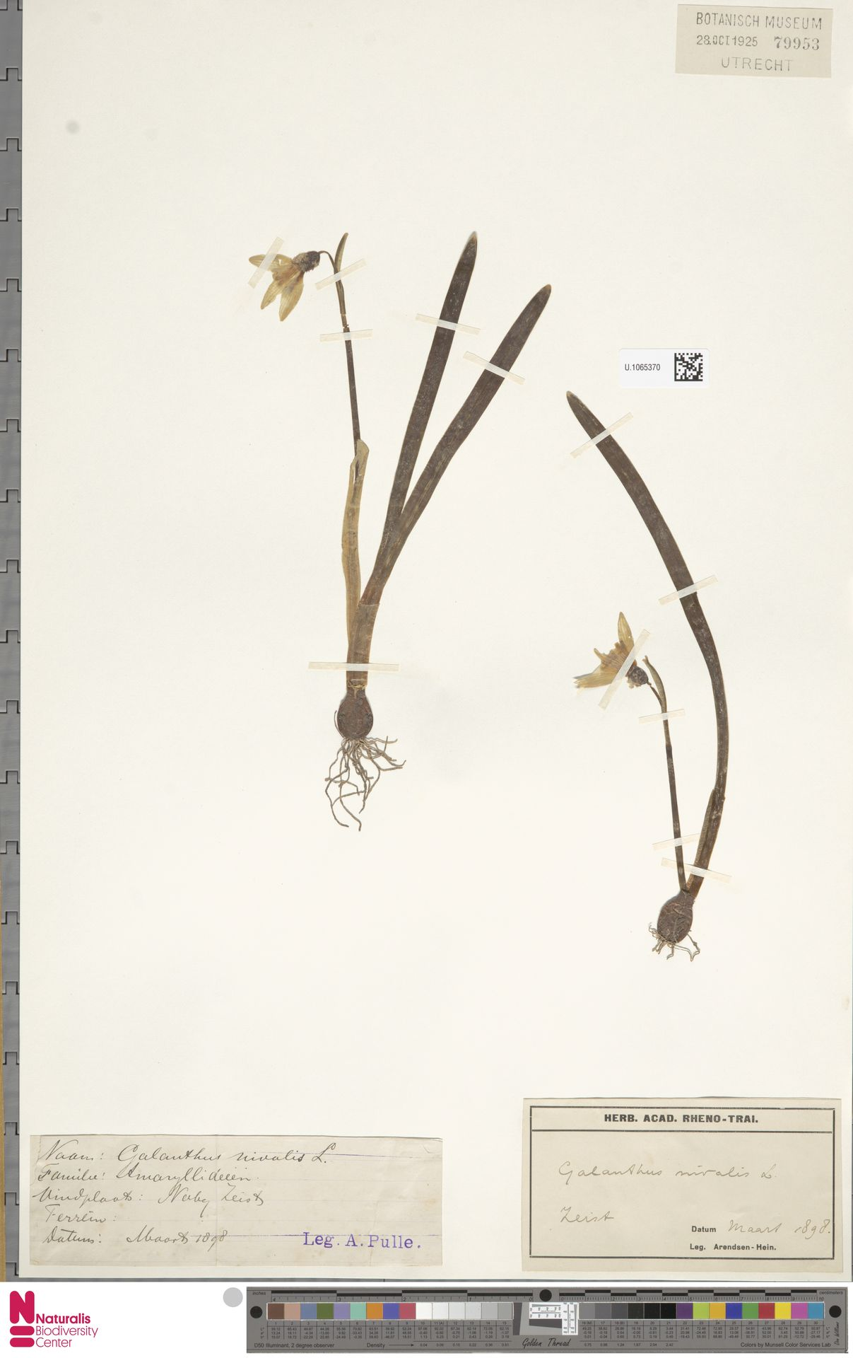 U.1065370 | Galanthus nivalis L.