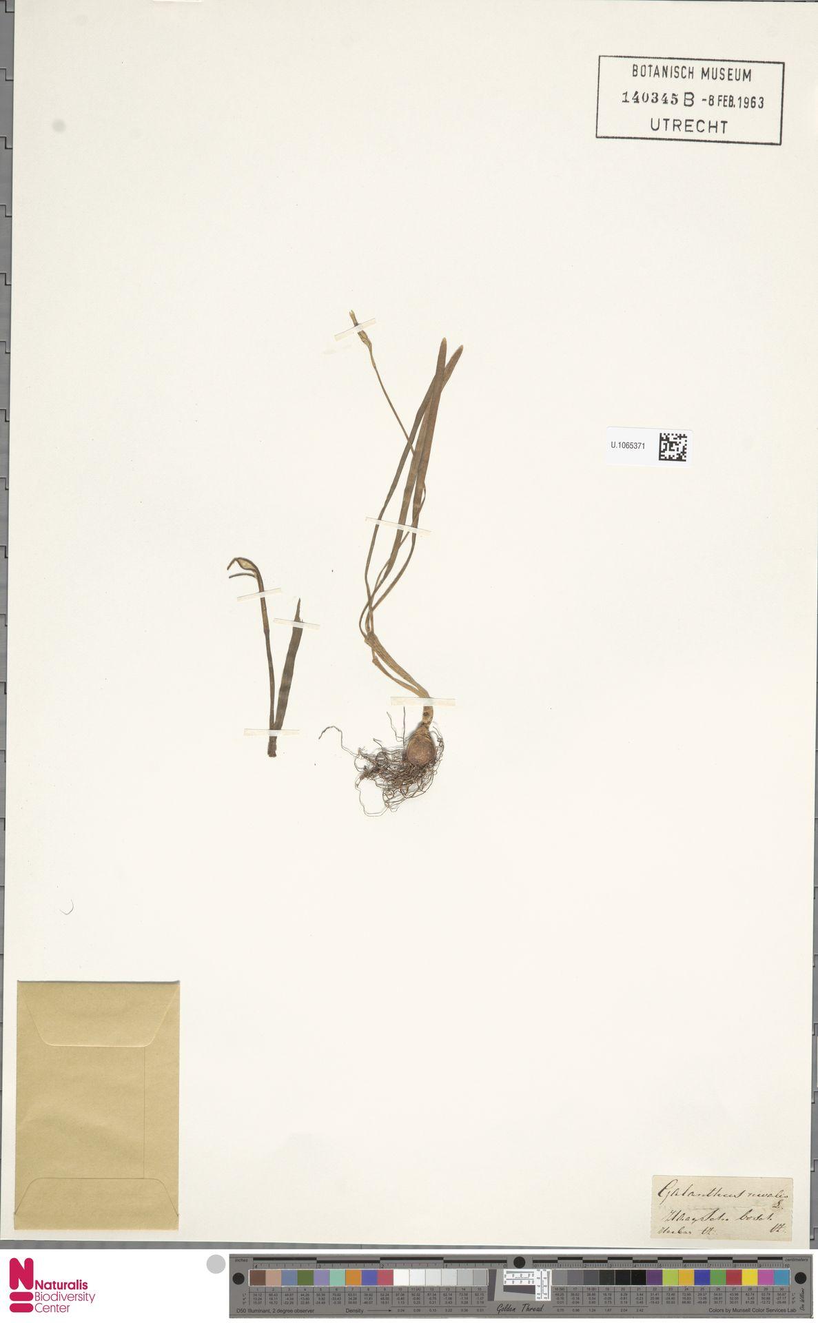 U.1065371   Galanthus nivalis L.