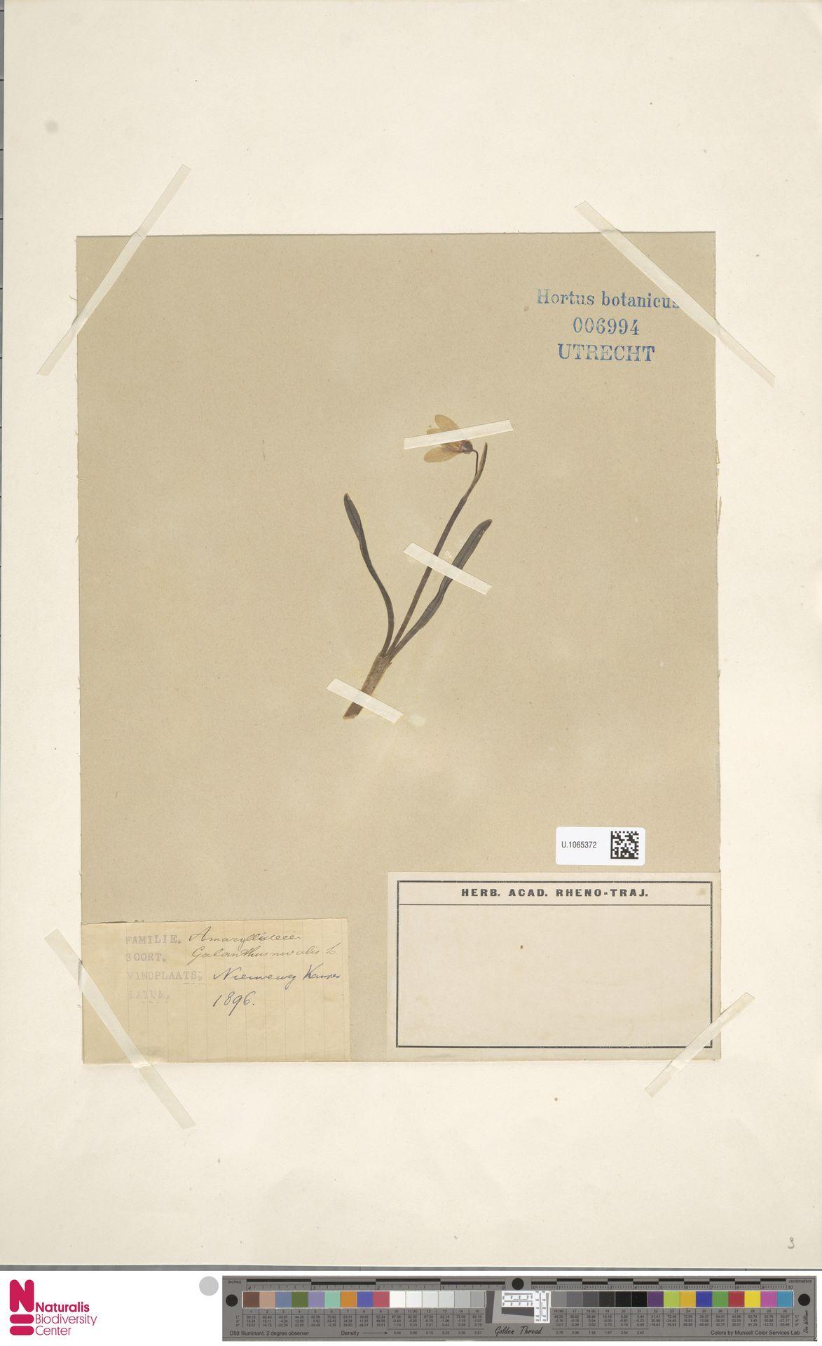 U.1065372   Galanthus nivalis L.