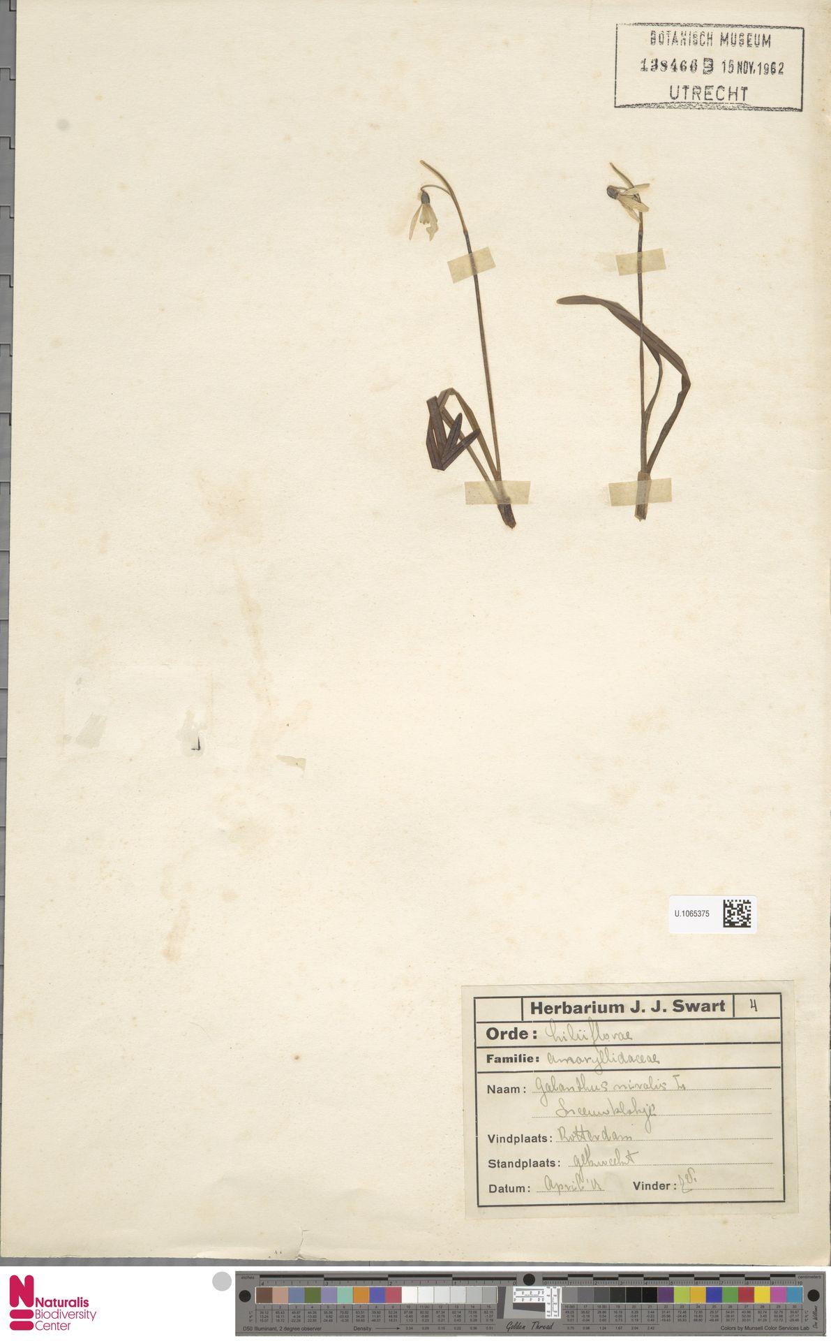 U.1065375   Galanthus nivalis L.