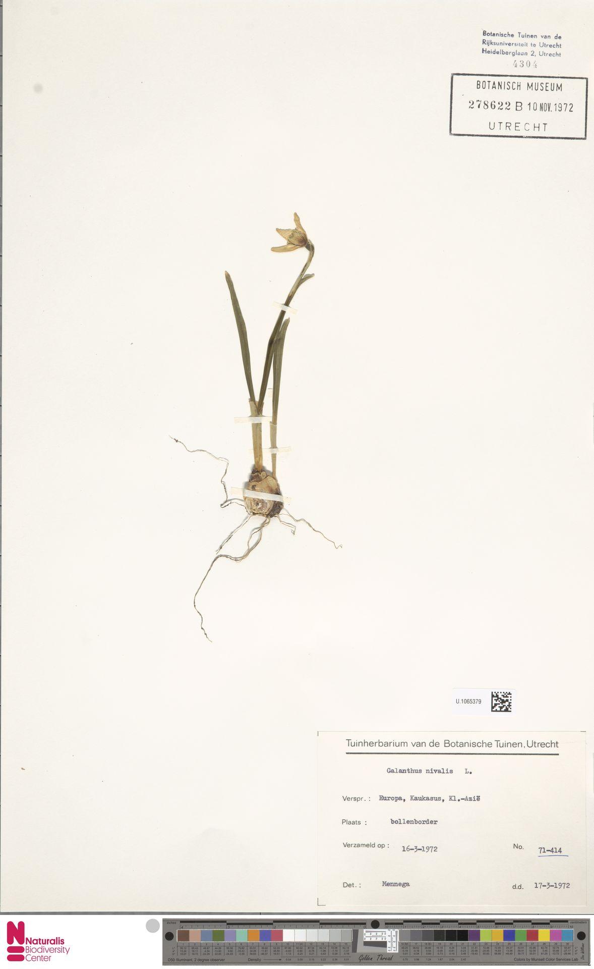 U.1065379 | Galanthus nivalis L.