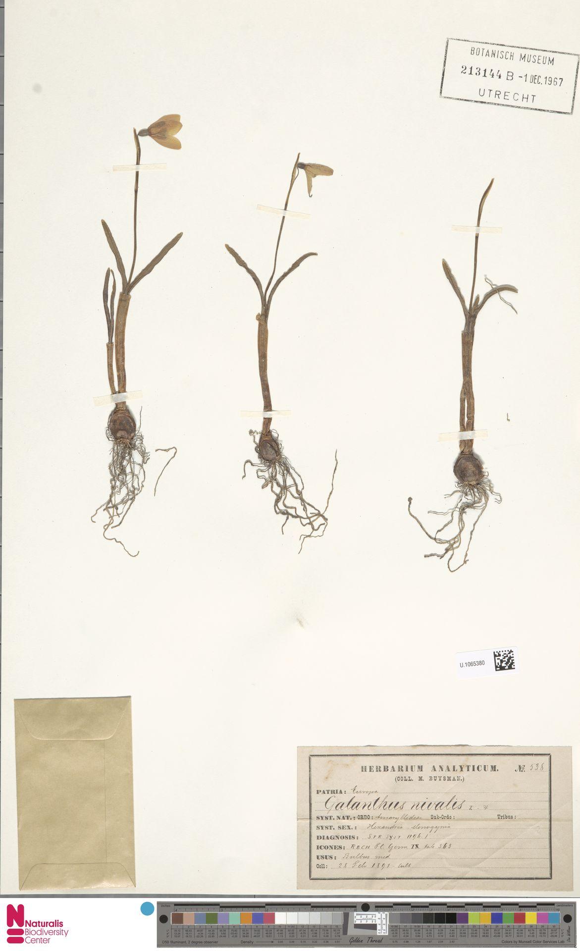 U.1065380 | Galanthus nivalis L.