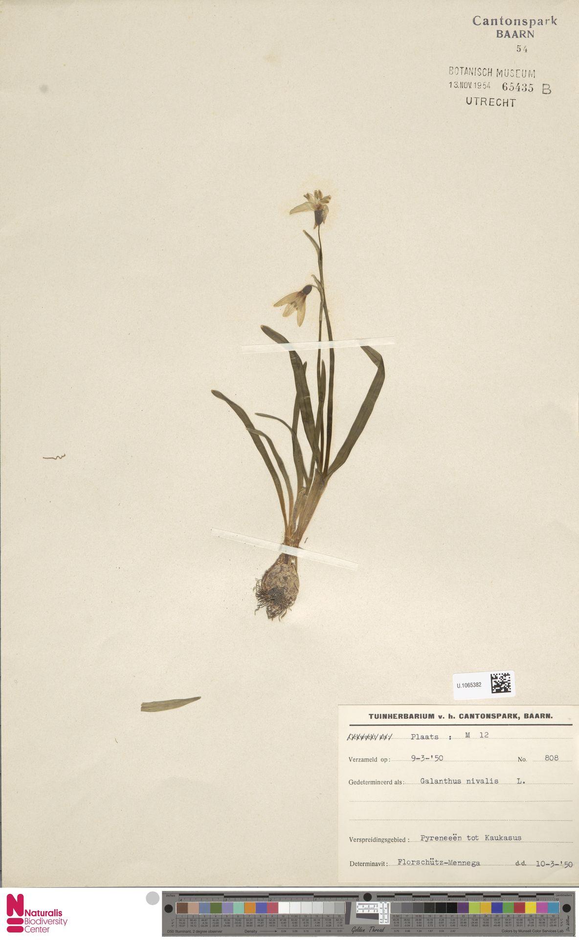 U.1065382 | Galanthus nivalis L.