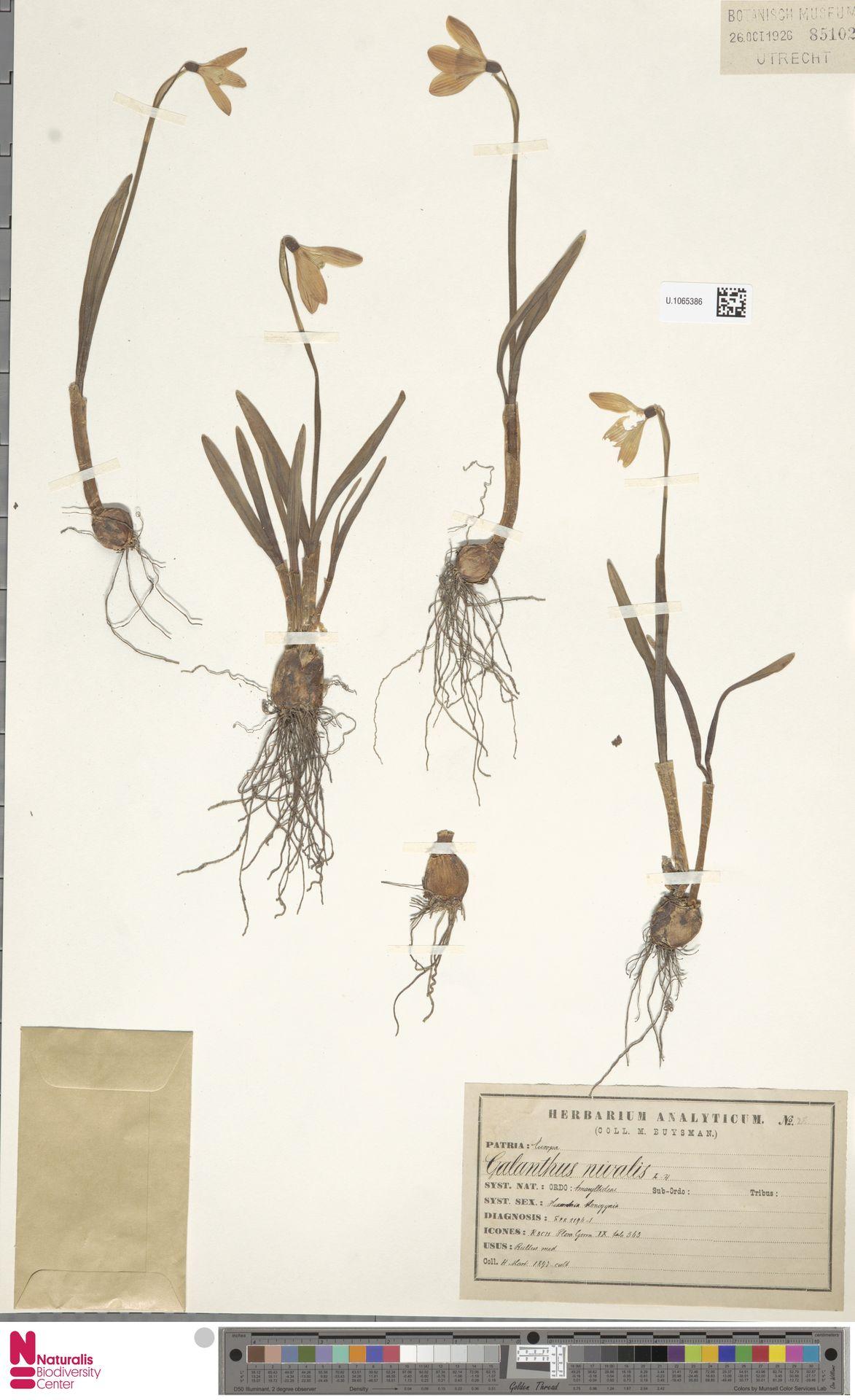 U.1065386 | Galanthus nivalis L.