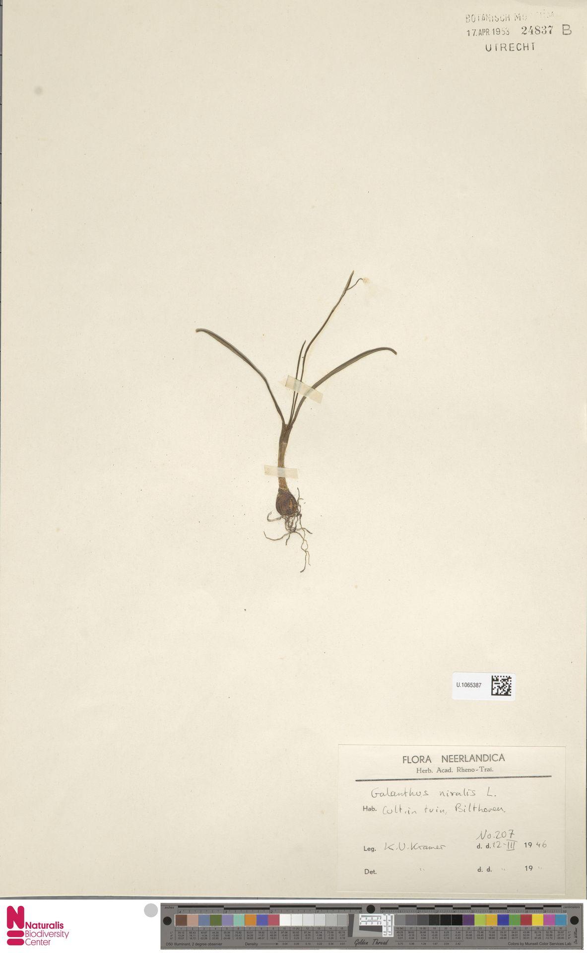 U.1065387 | Galanthus nivalis L.