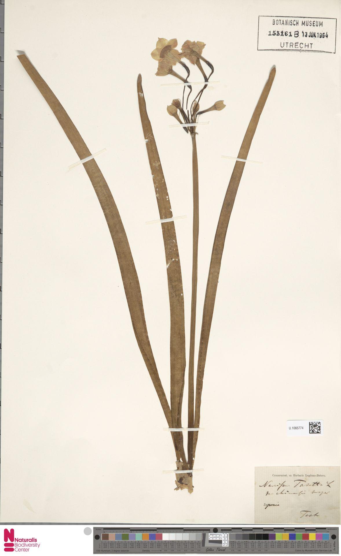 U.1065774   Narcissus tazetta L.