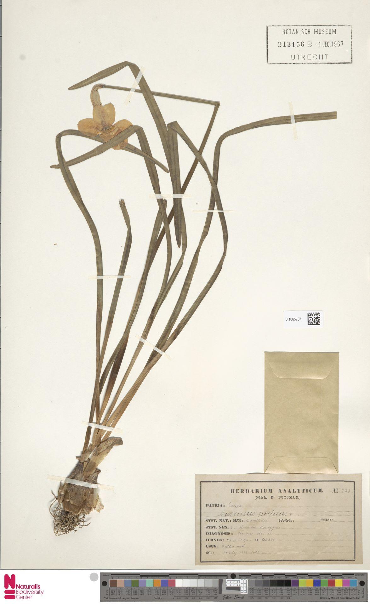 U.1065787   Narcissus poeticus L.