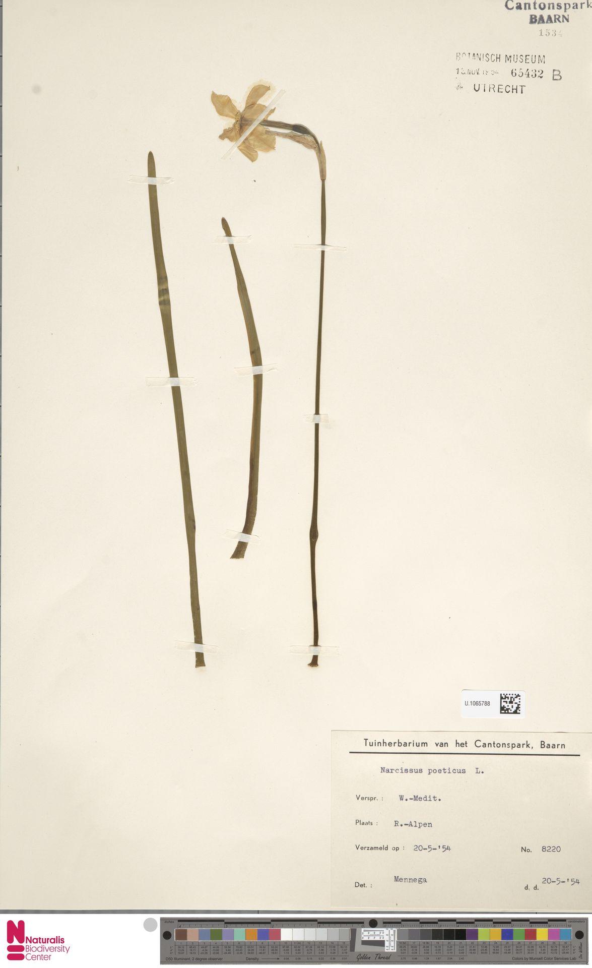 U.1065788 | Narcissus poeticus L.