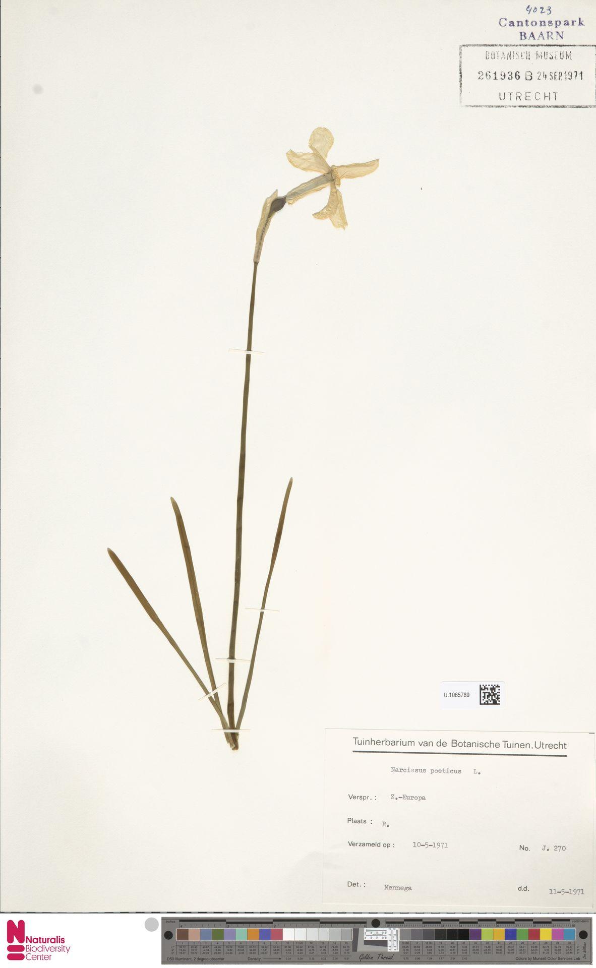 U.1065789 | Narcissus poeticus L.