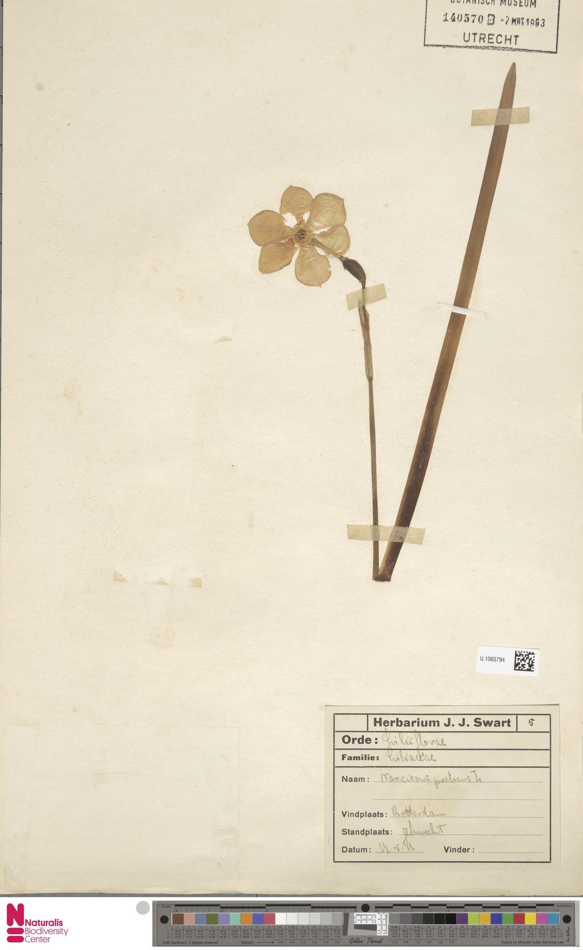 U.1065794 | Narcissus poeticus L.