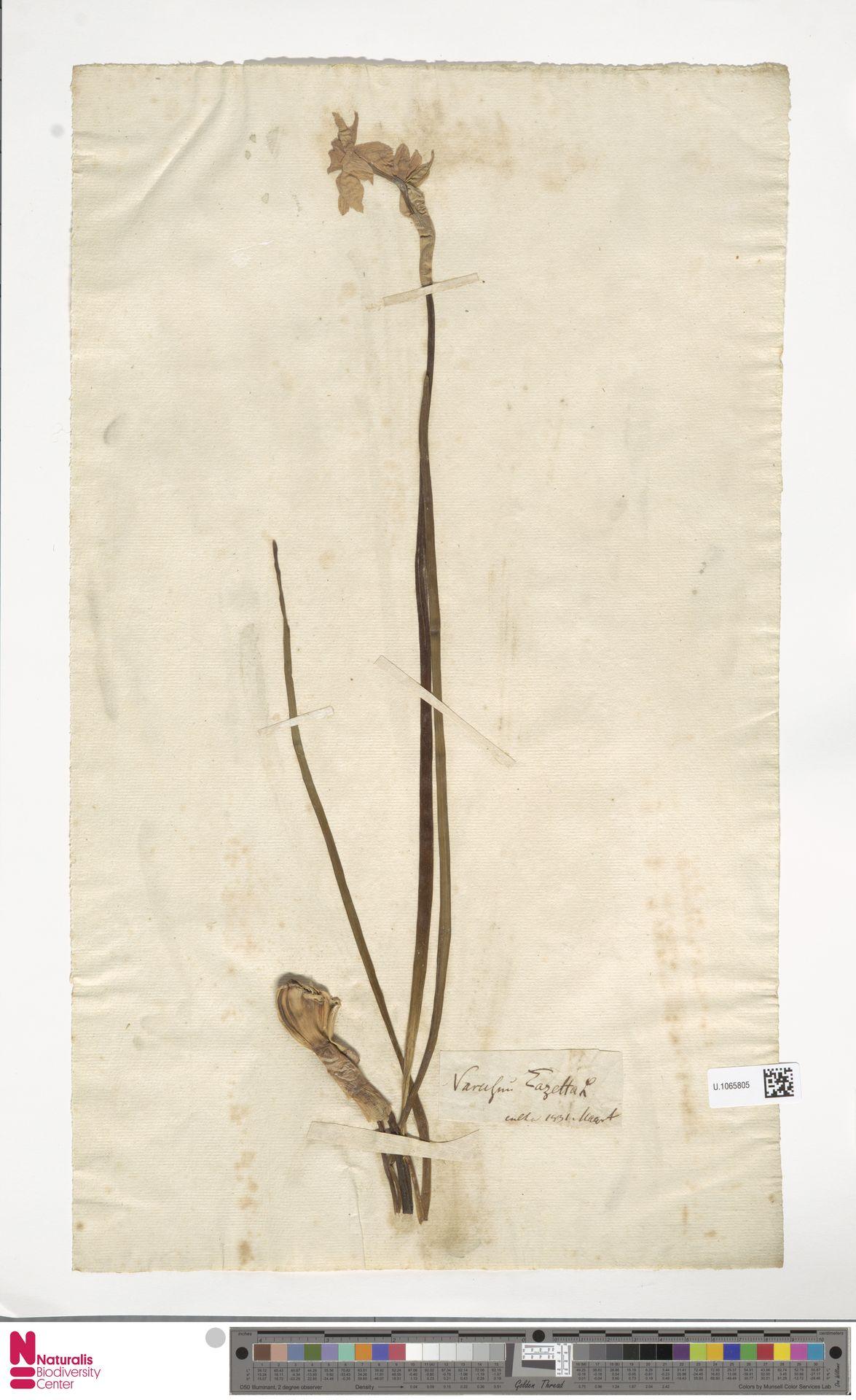 U.1065805 | Narcissus tazetta L.