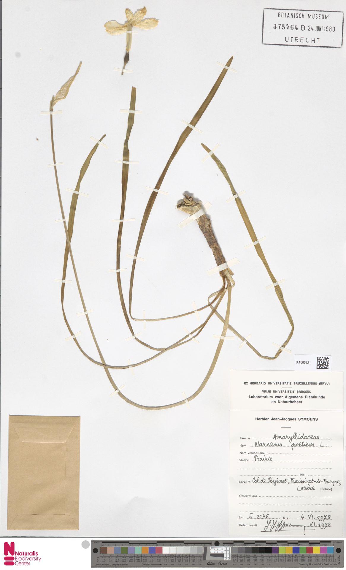 U.1065821 | Narcissus poeticus L.