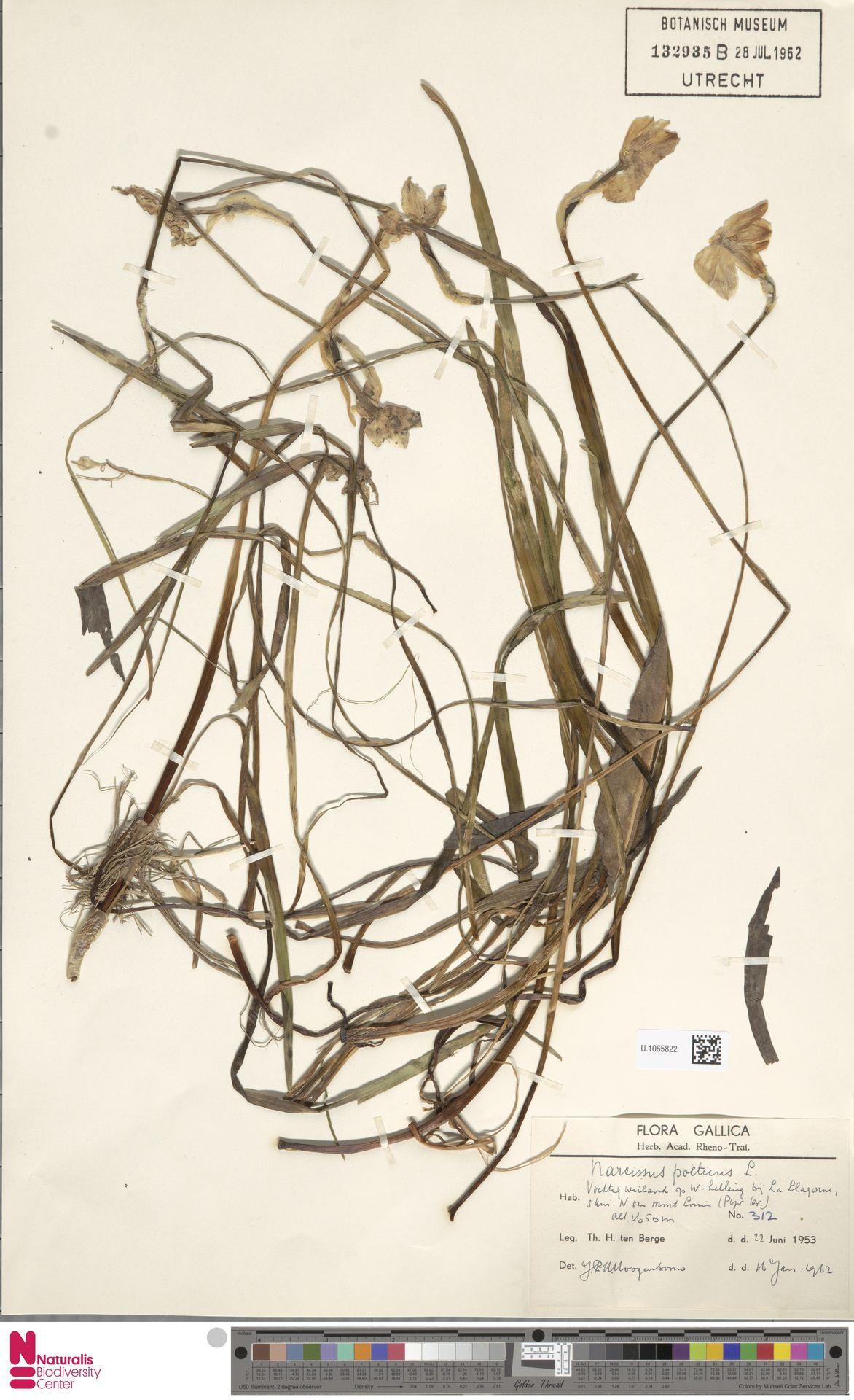 U.1065822 | Narcissus poeticus L.