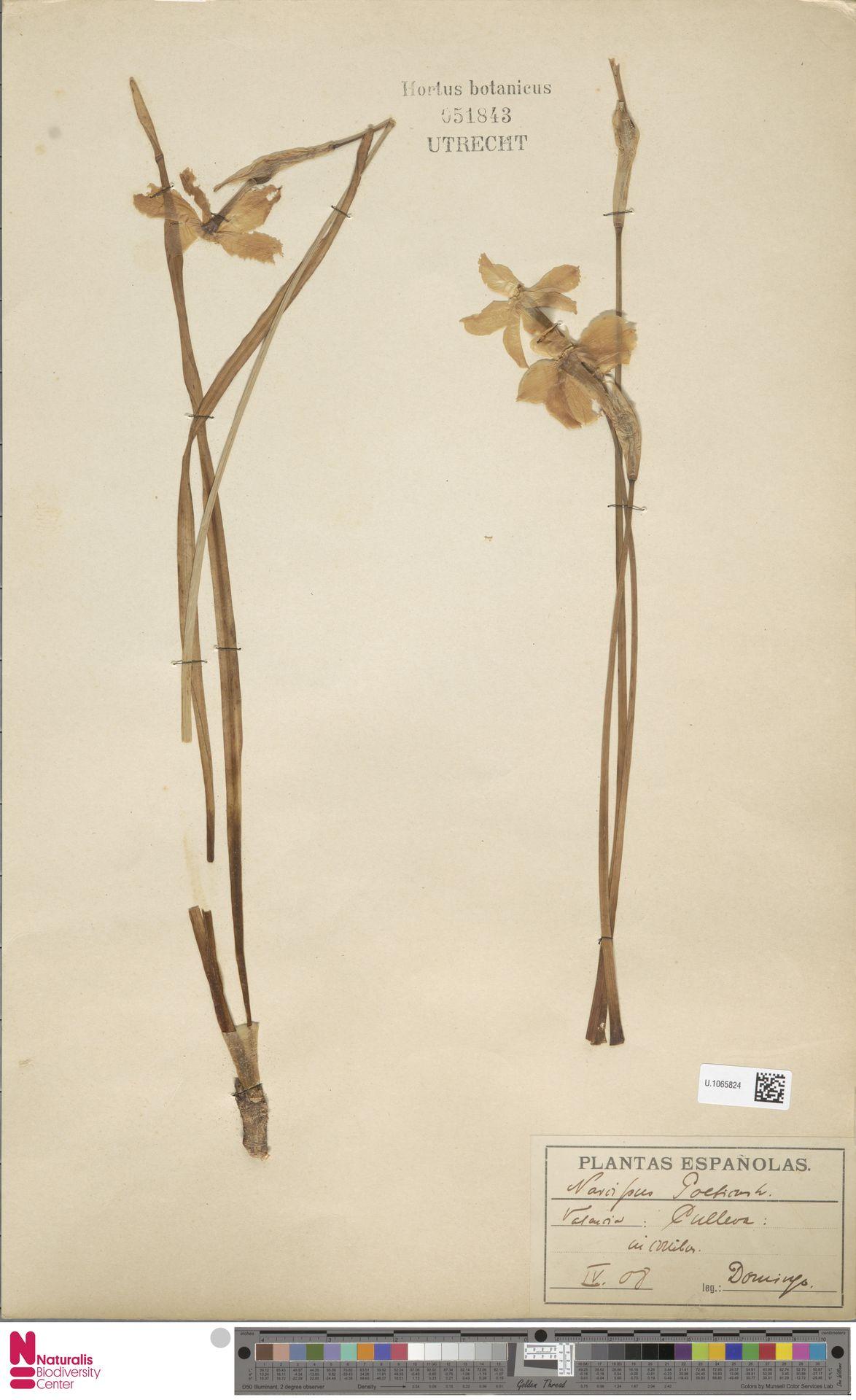U.1065824 | Narcissus poeticus L.