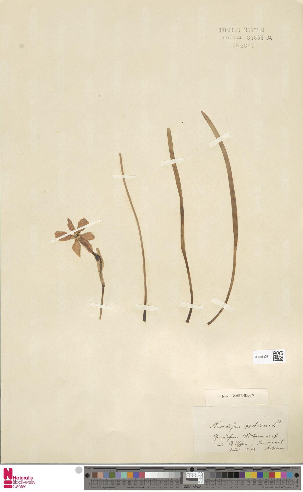 U.1065825 | Narcissus poeticus L.