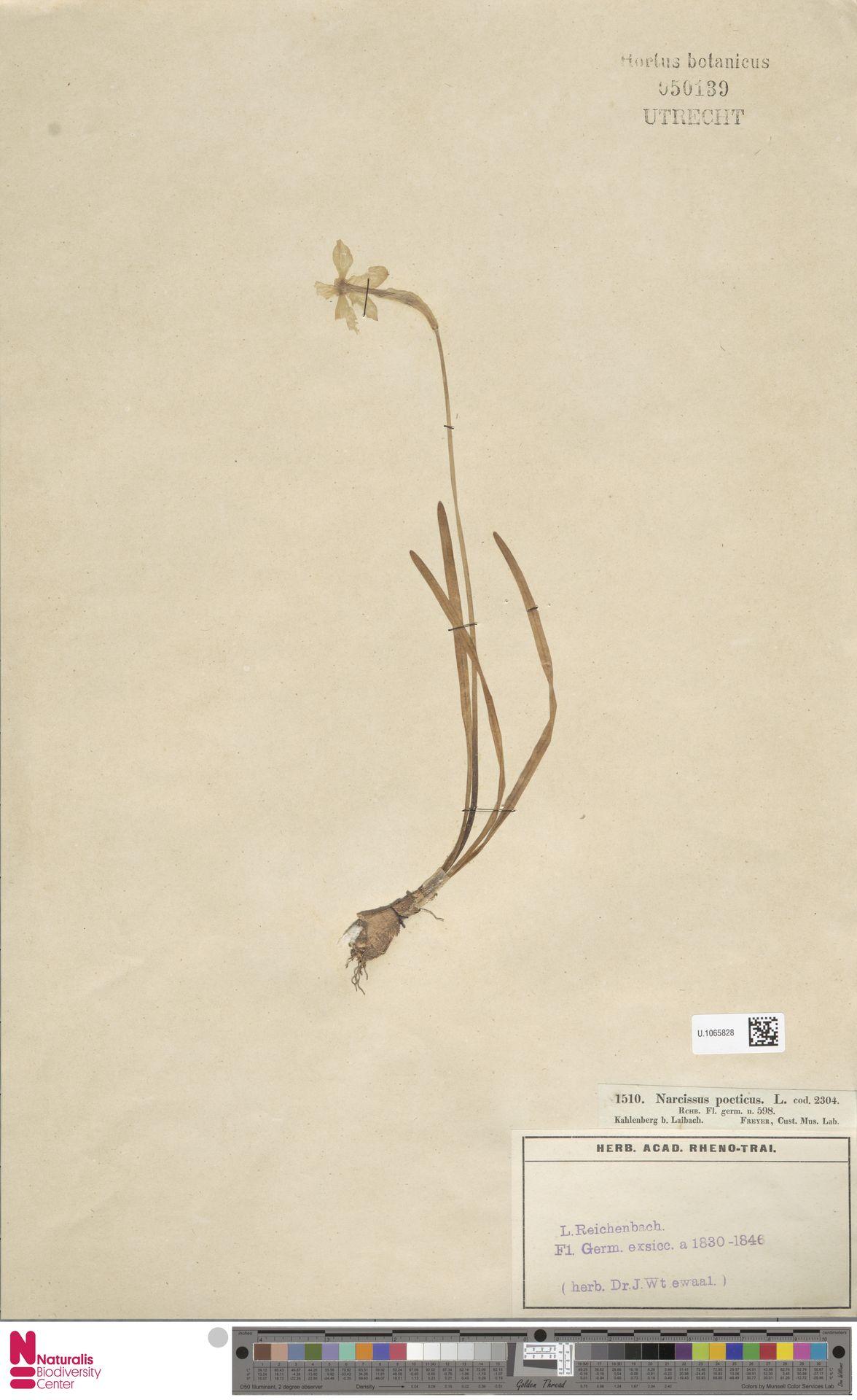 U.1065828 | Narcissus poeticus L.