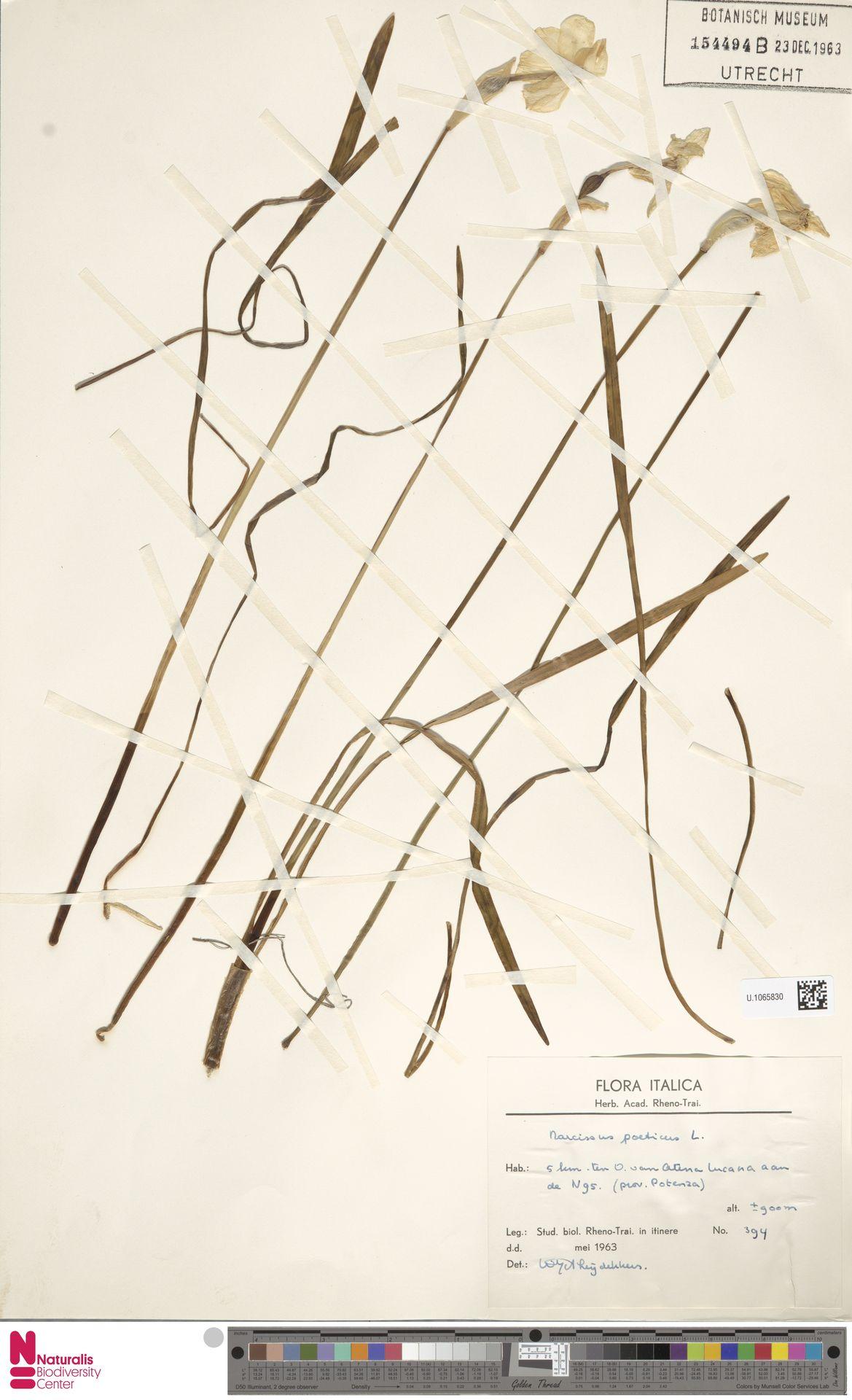 U.1065830 | Narcissus poeticus L.