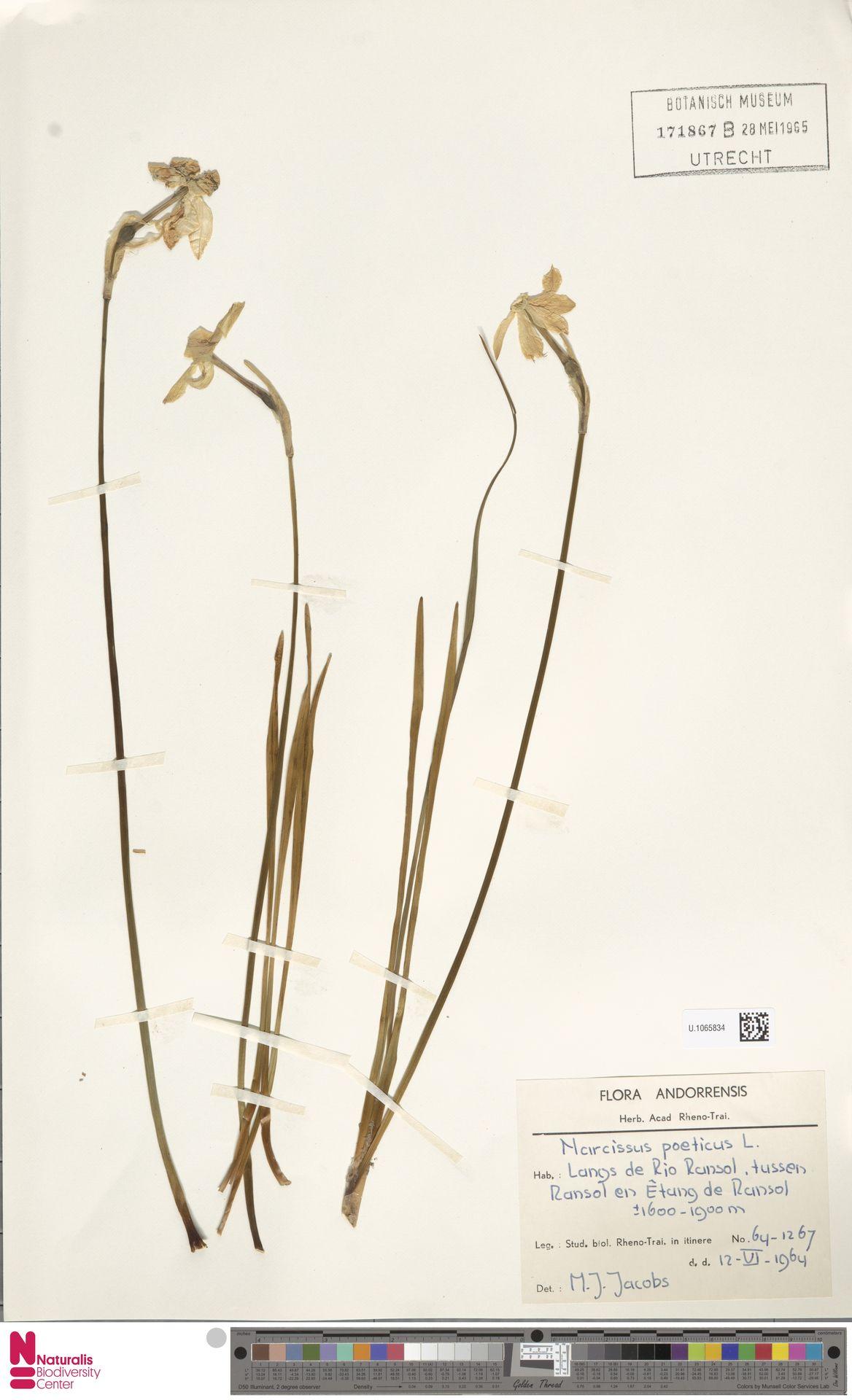 U.1065834 | Narcissus poeticus L.