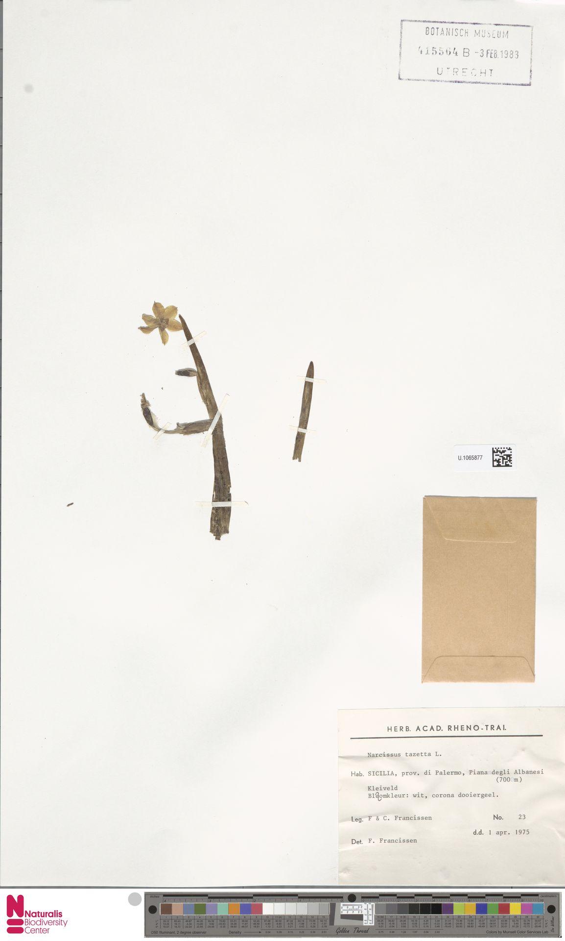 U.1065877 | Narcissus tazetta L.