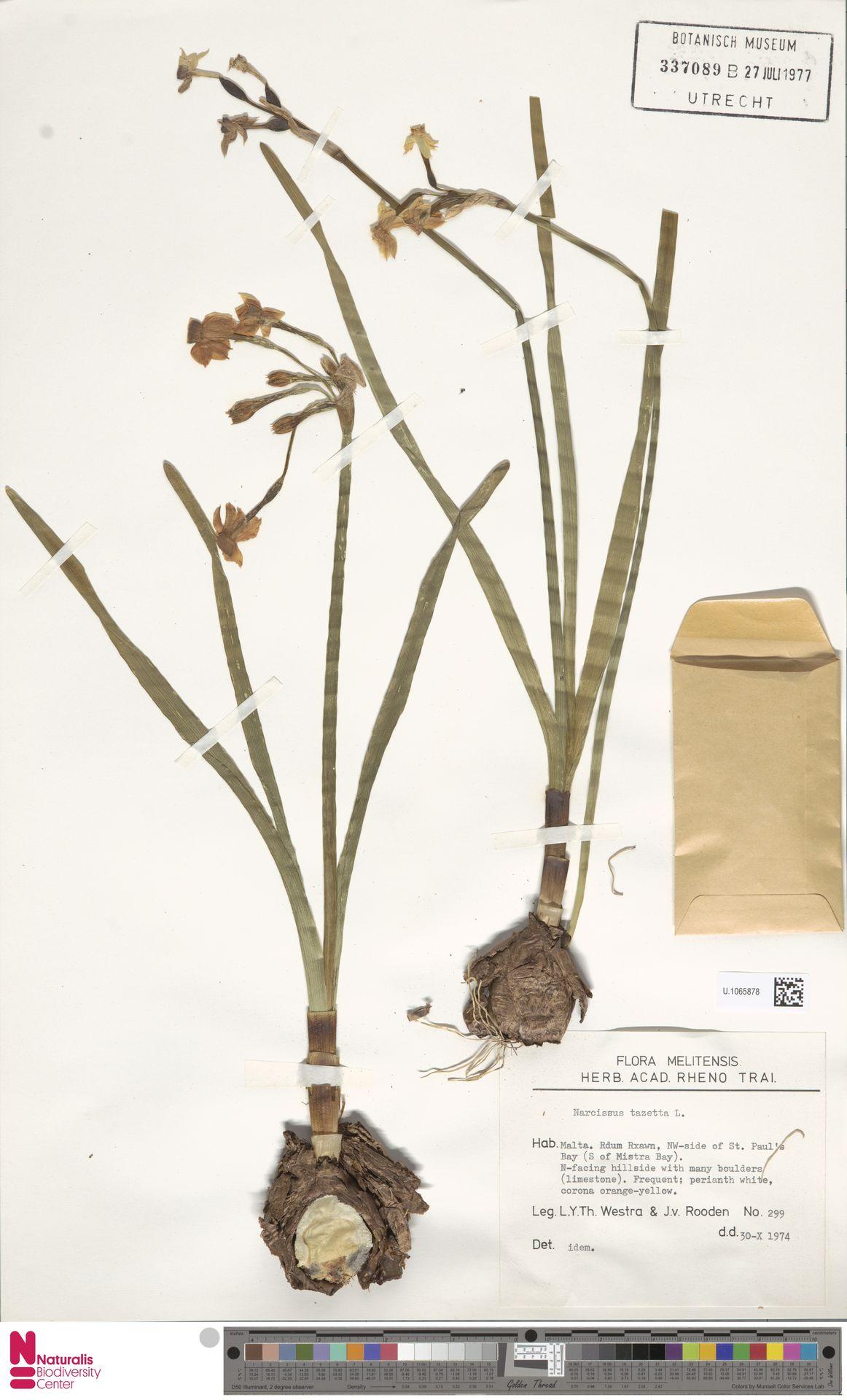 U.1065878 | Narcissus tazetta L.
