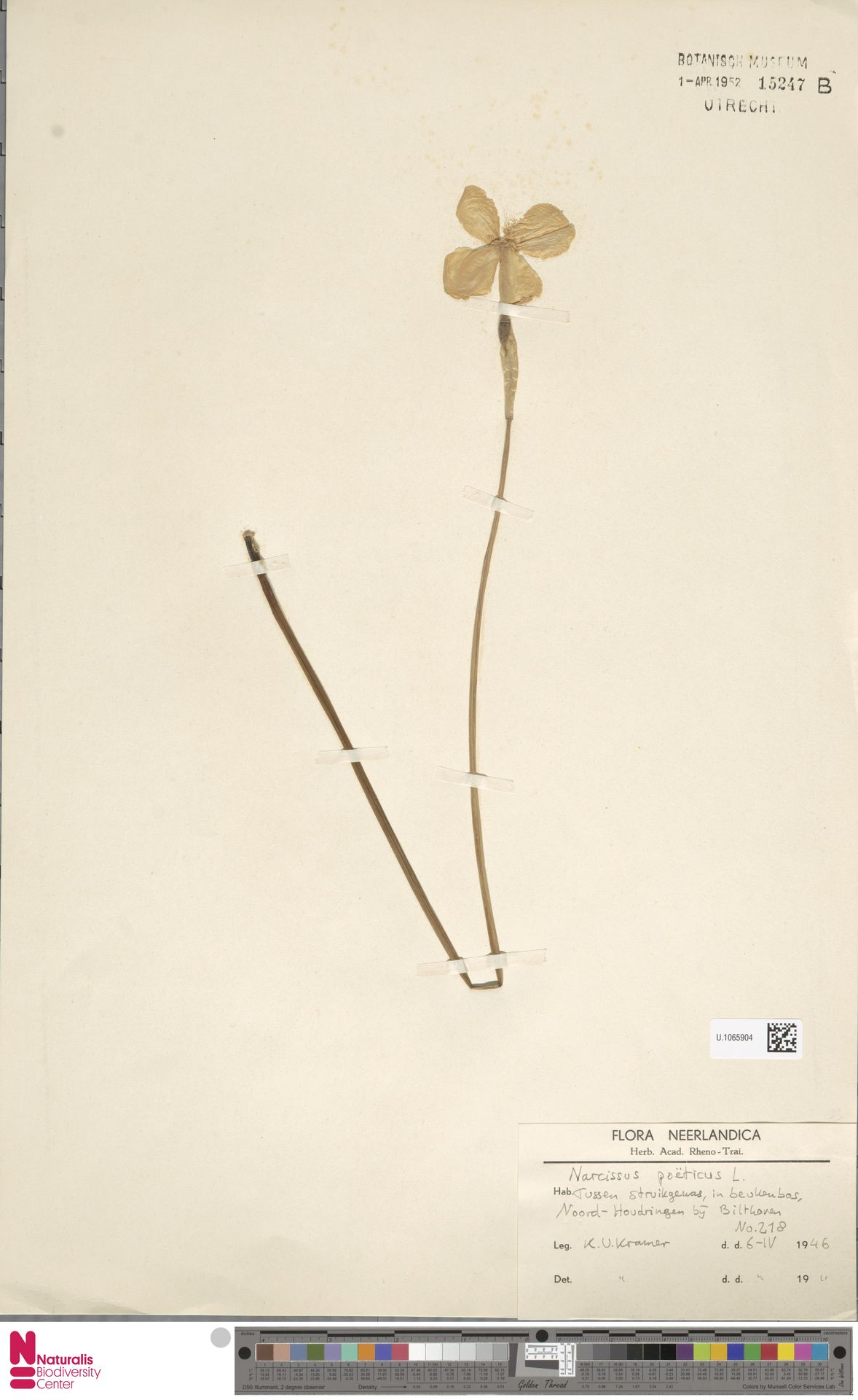 U.1065904 | Narcissus poeticus L.